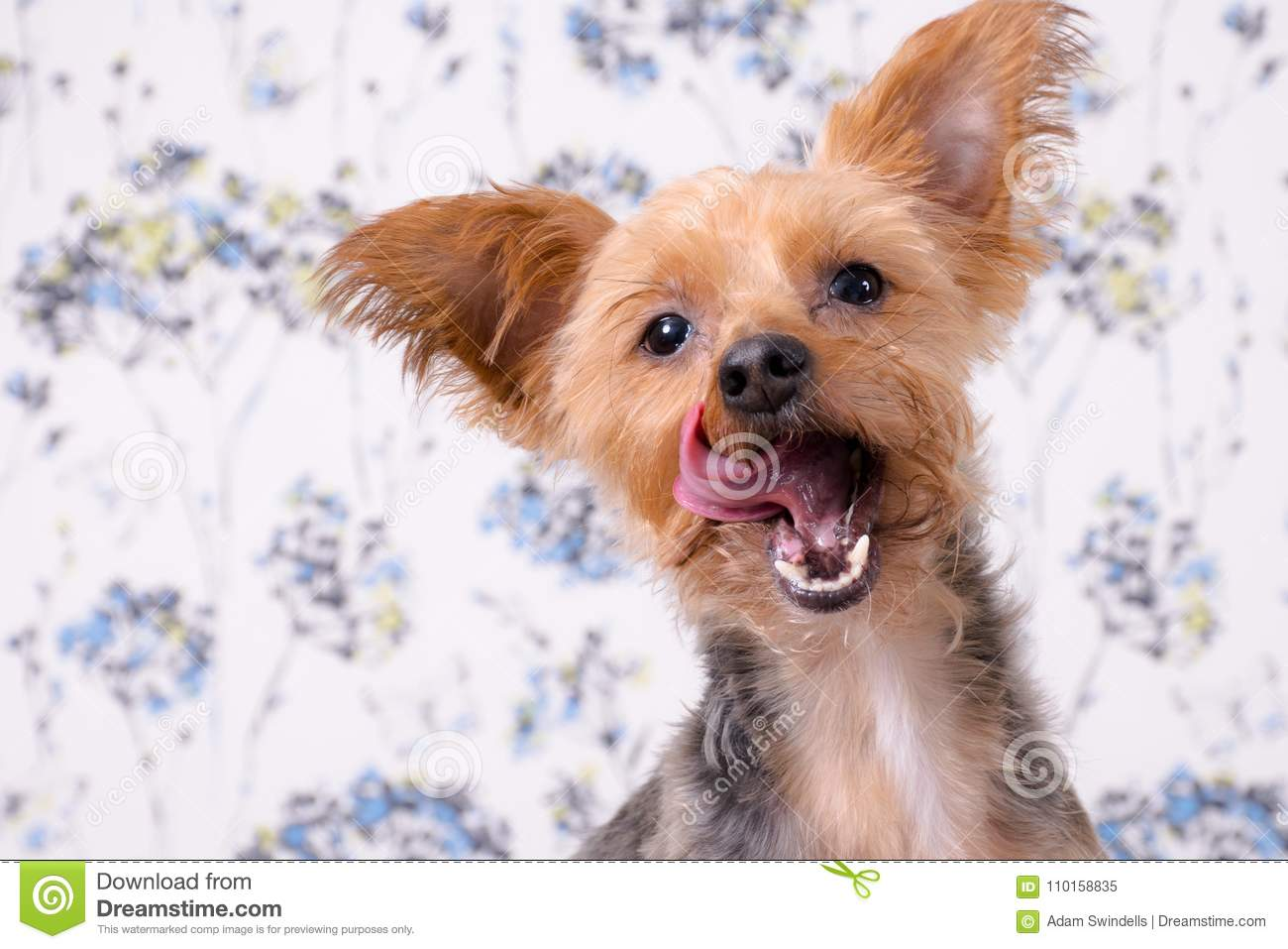 A Cute Yorkshire Terrier Headshot With His Tongue Out Stock Image