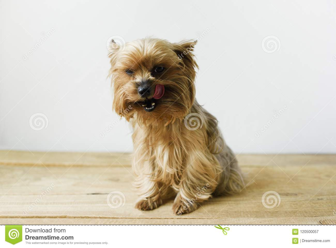 Cute Yorkshire Terrier Licking Nose Sitting In A Living Room Setting ...
