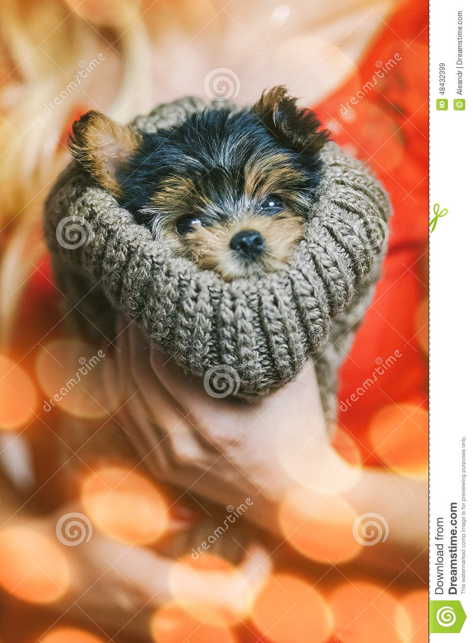 Cute Yorkshire Terrier Puppy In Hands Og Its Owner Stock Photo