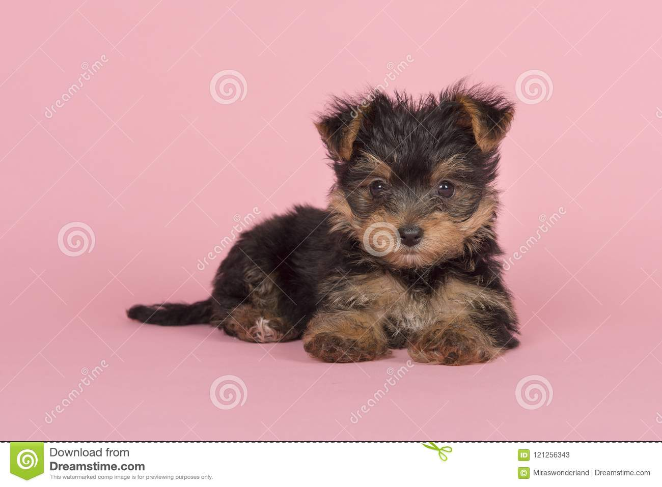 Cute Yorkshire Terrier Yorkie Puppy Lying Down Looking At The C