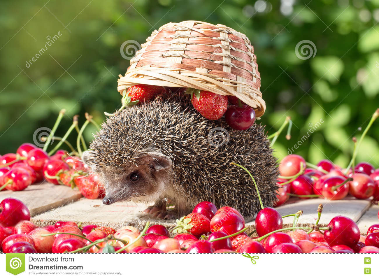 Cute young hedgehog, Atelerix albiventris, among berries on a background of green leaves