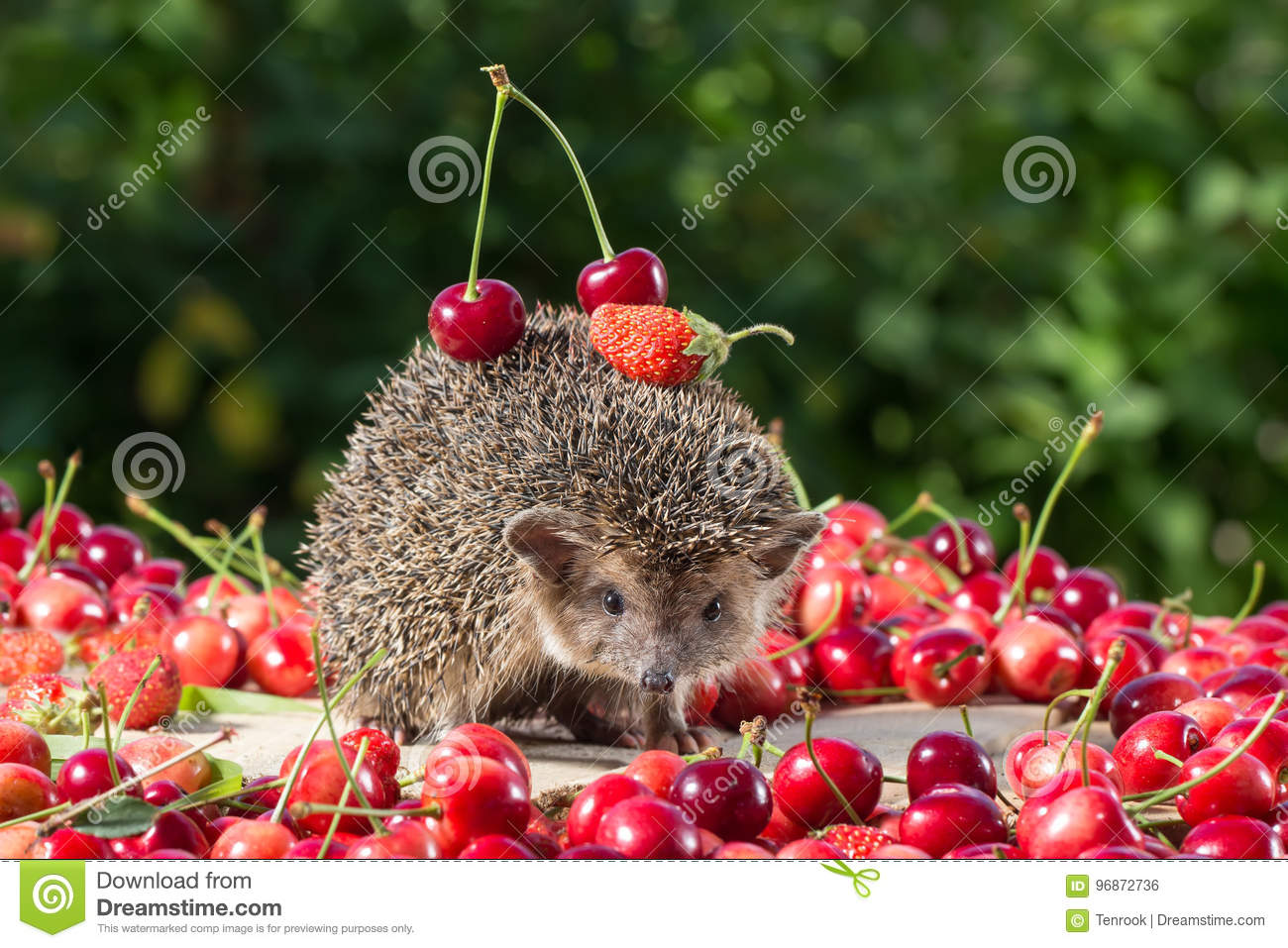 Cute young hedgehog among the berry on green leaves background, carries cherry and strawberry on the back