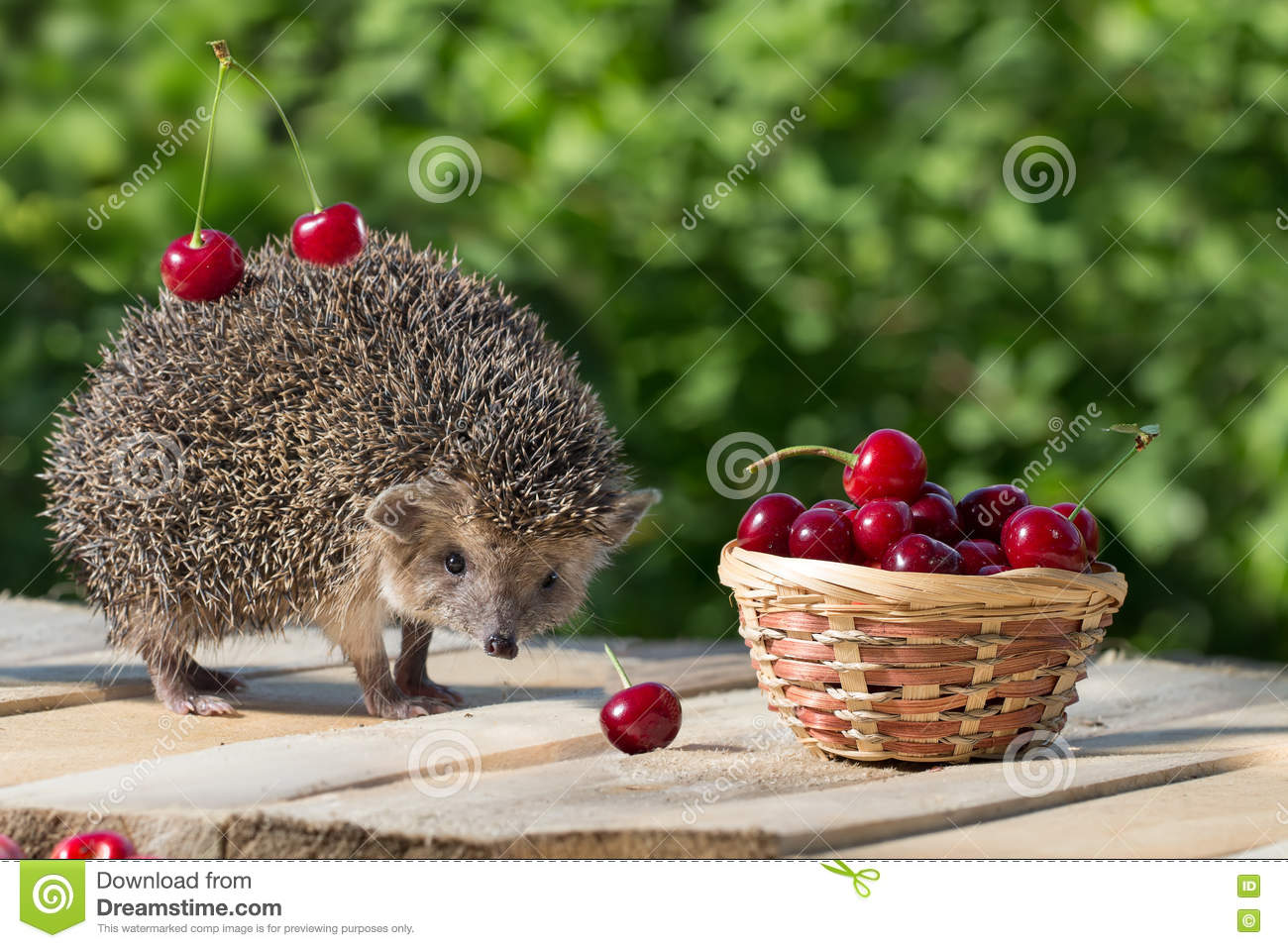 Cute young hedgehog stands near the wicker basket with sweet cherry on a background of green leaves. berrie