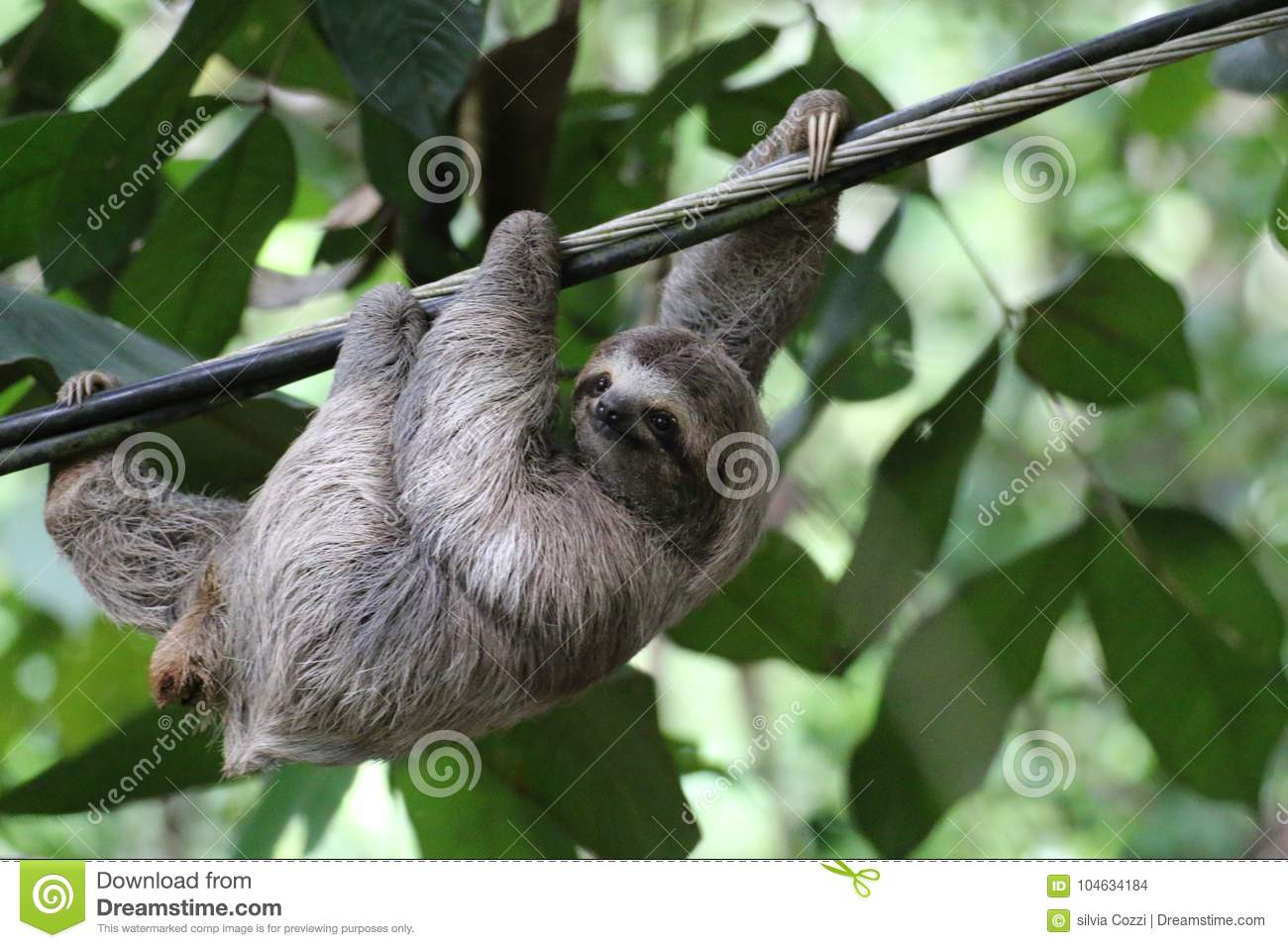 Young Sloth hanging on a cable, Costa Rica