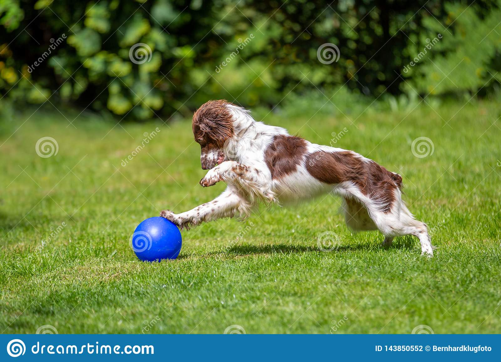 Cute young Springer Spaniel having fun playing with a blue ball on the lawn