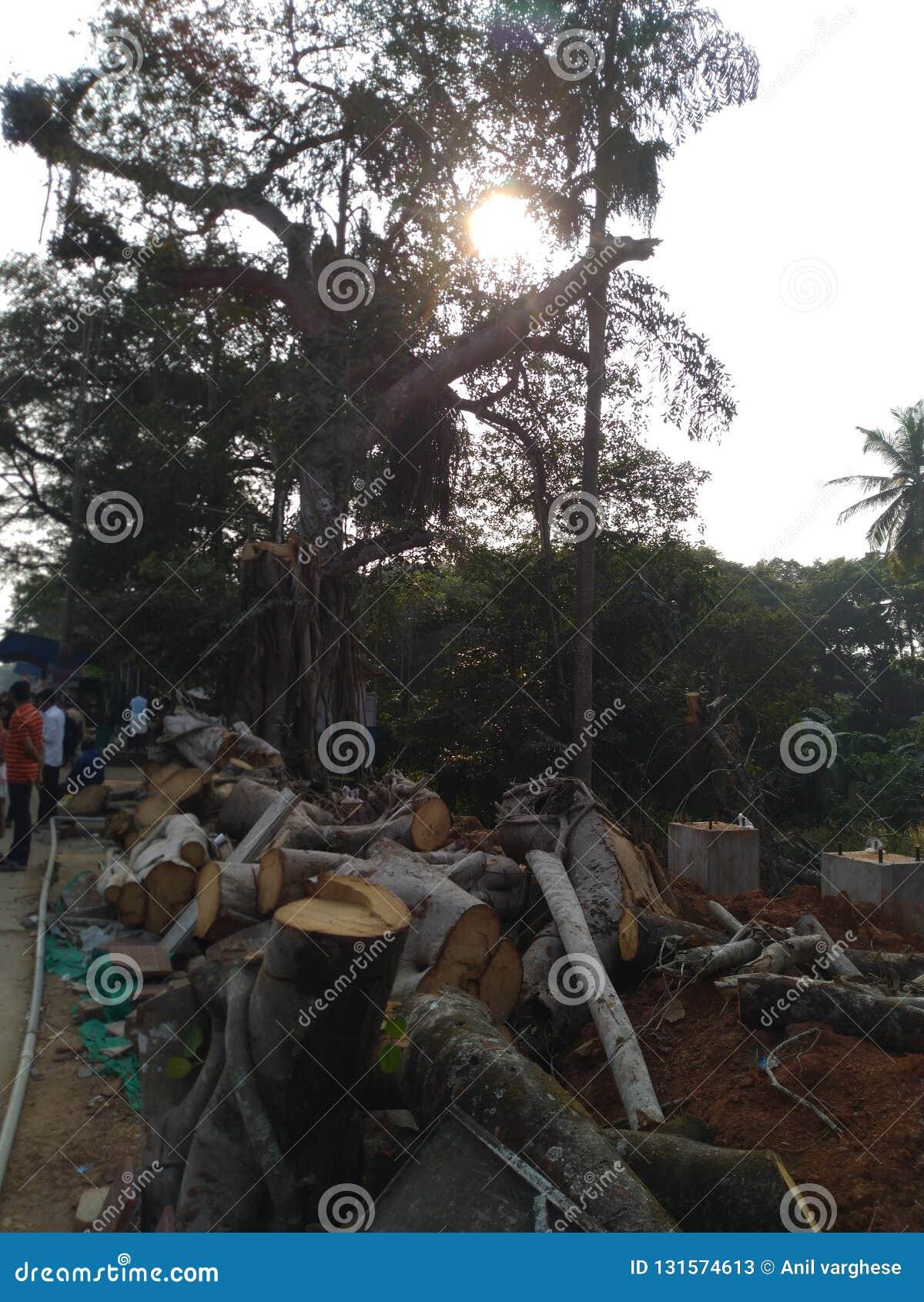Cutted träd