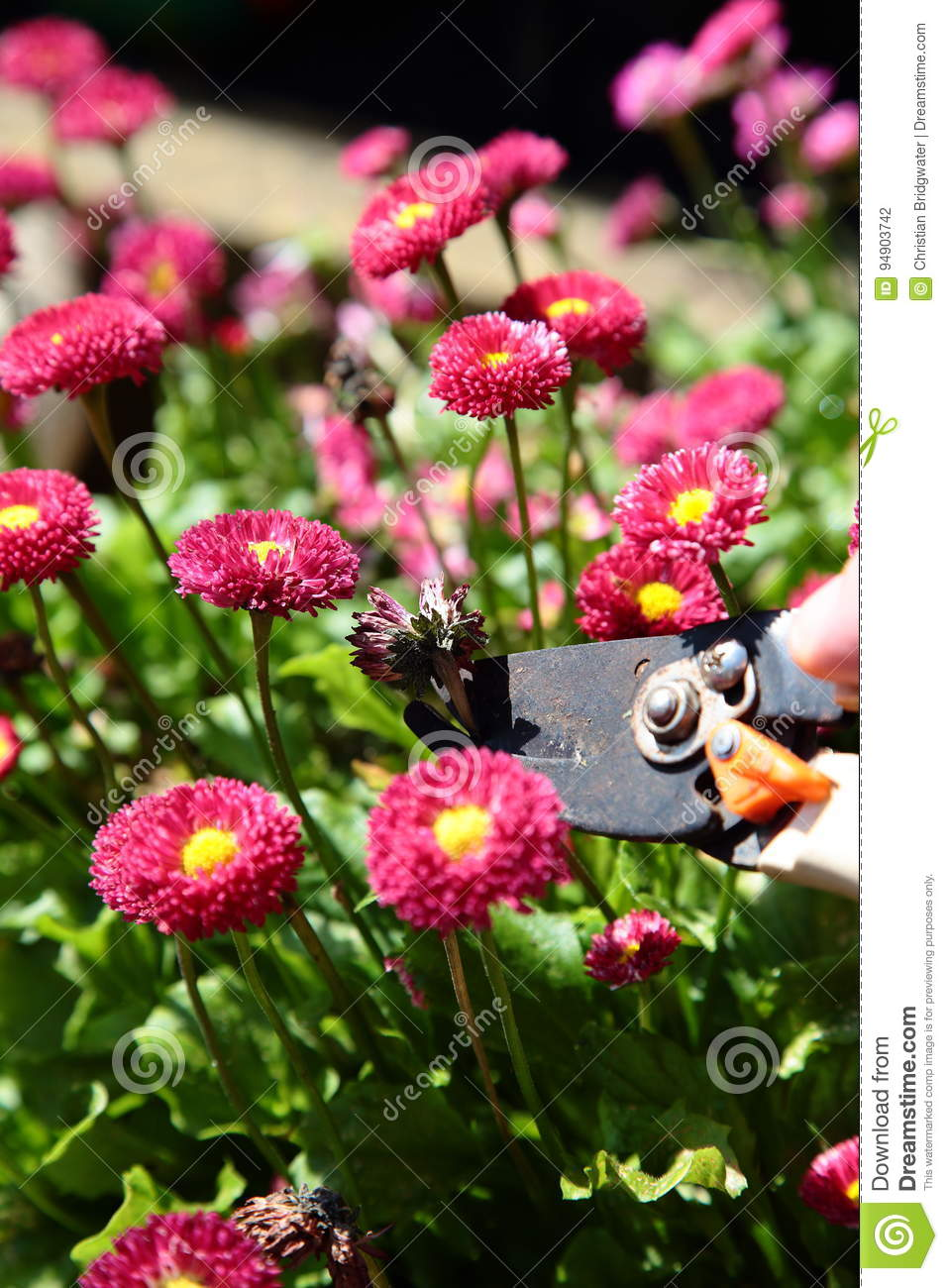 Cutting dead heading bellis perennis rose red double daisy stock royalty free stock photo izmirmasajfo Image collections