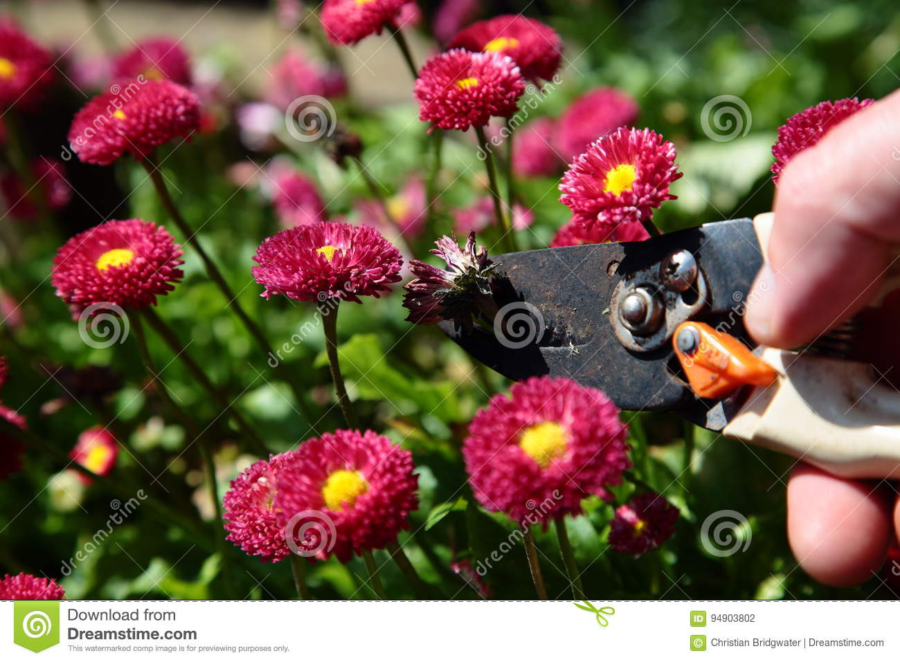 Cutting dead heading bellis perennis rose red double daisy stock download comp izmirmasajfo