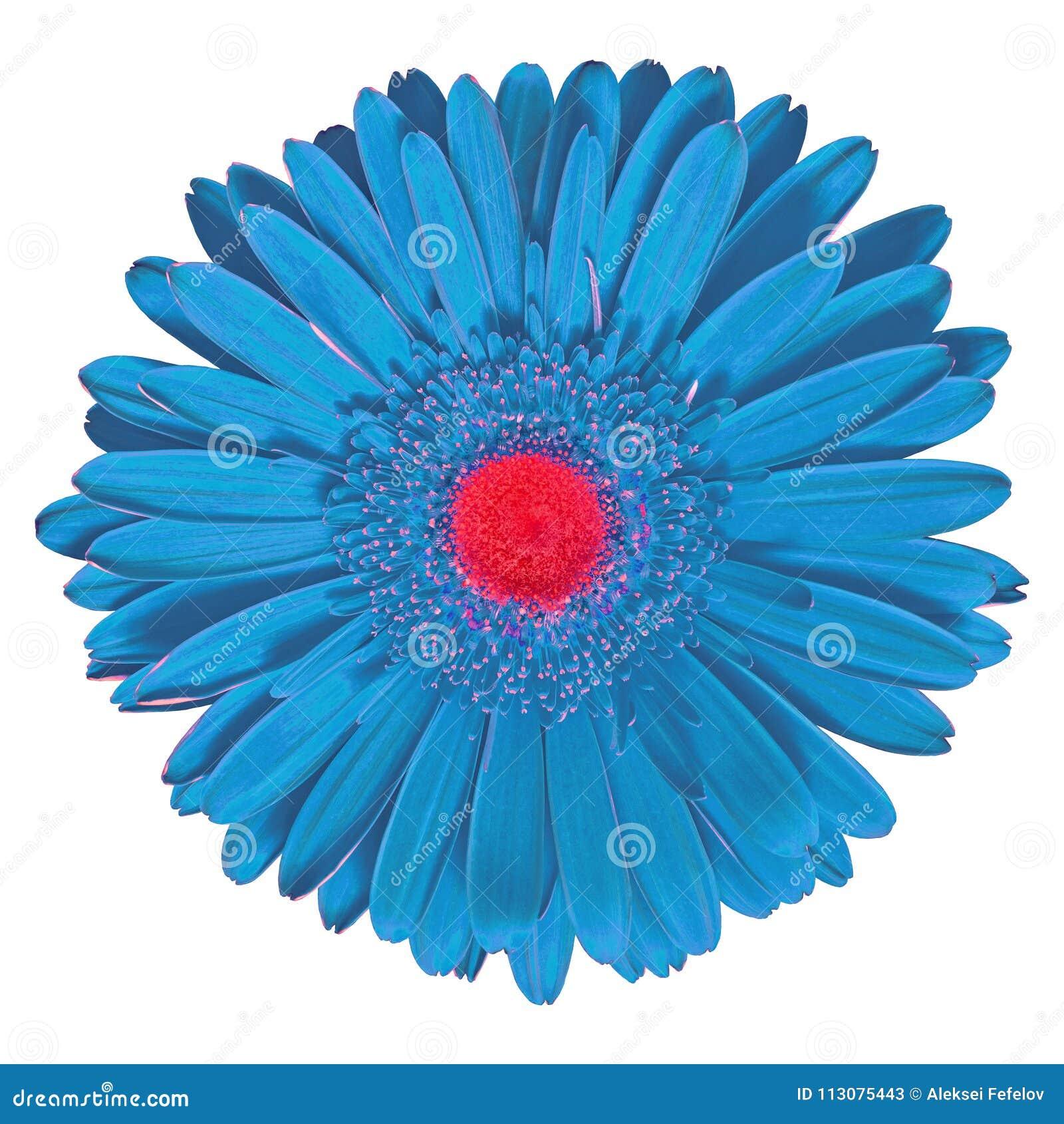Cyan röd Gerbera för inomhus blomma som isoleras på vit bakgrund Närbild Makro element för klockajuldesign