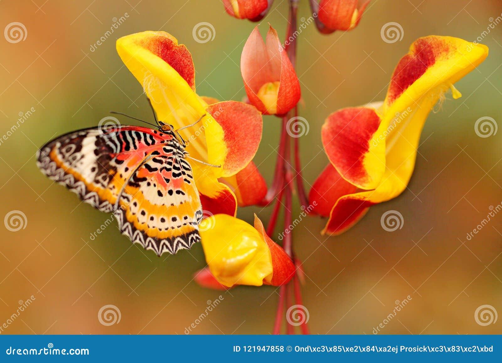 Cyane de Cethosia, Lacewing de léopard, papillon tropical diffusé de l Inde en Malaisie Bel insecte se reposant sur le rouge et l