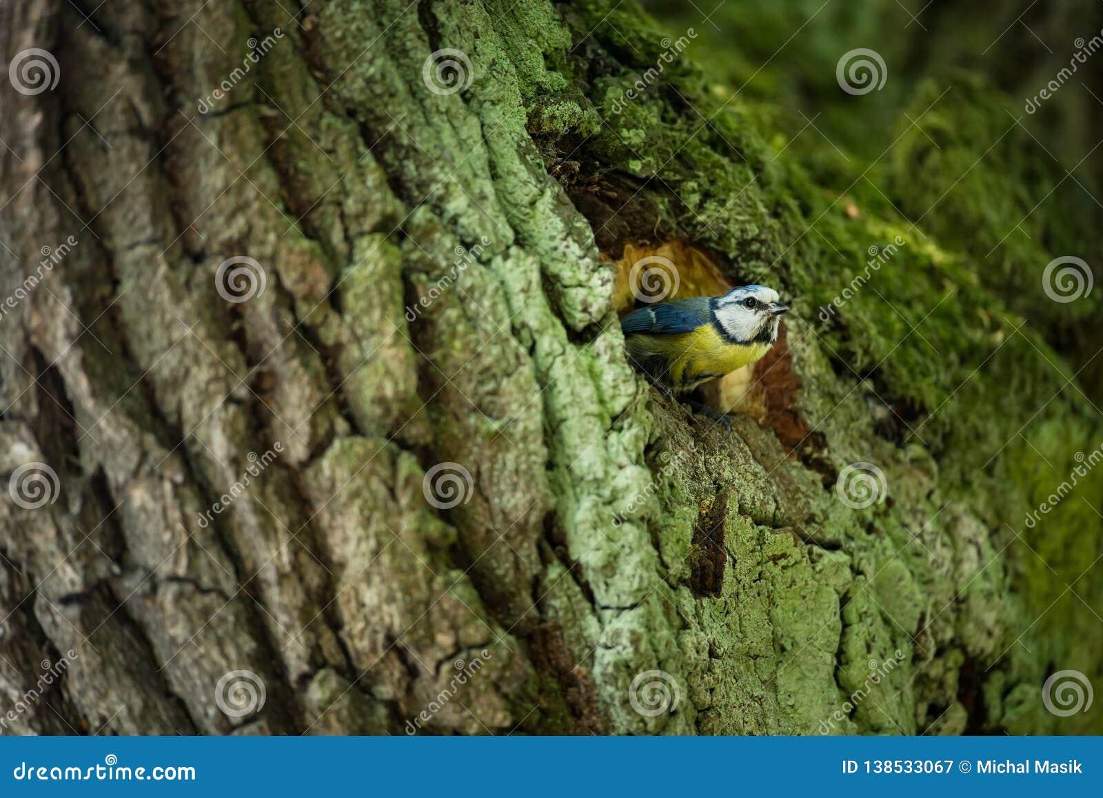 Cyanistes caeruleus 野生生物 E 美好的照片 自由本质 从鸟生活 春天 蓝色鸟