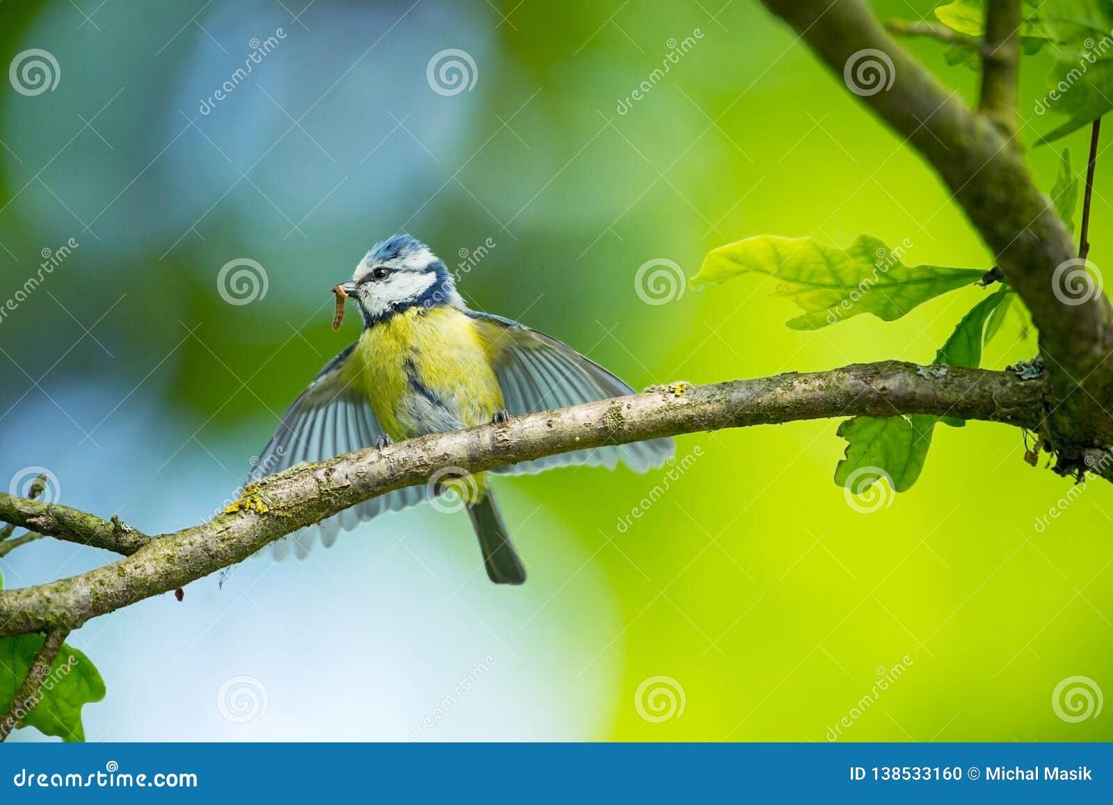 Cyanistes-caeruleus wildnis E Schöne Abbildung Freie Natur Vom Vogelleben Frühling Blauer Vogel