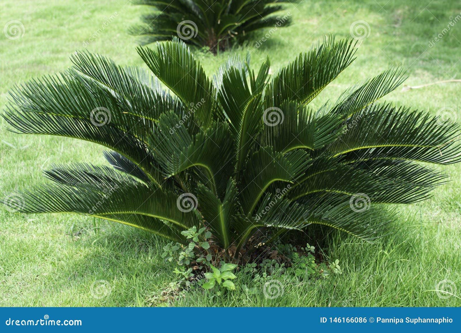 Cycas Revoluta, plant? dans un jardin d herbe