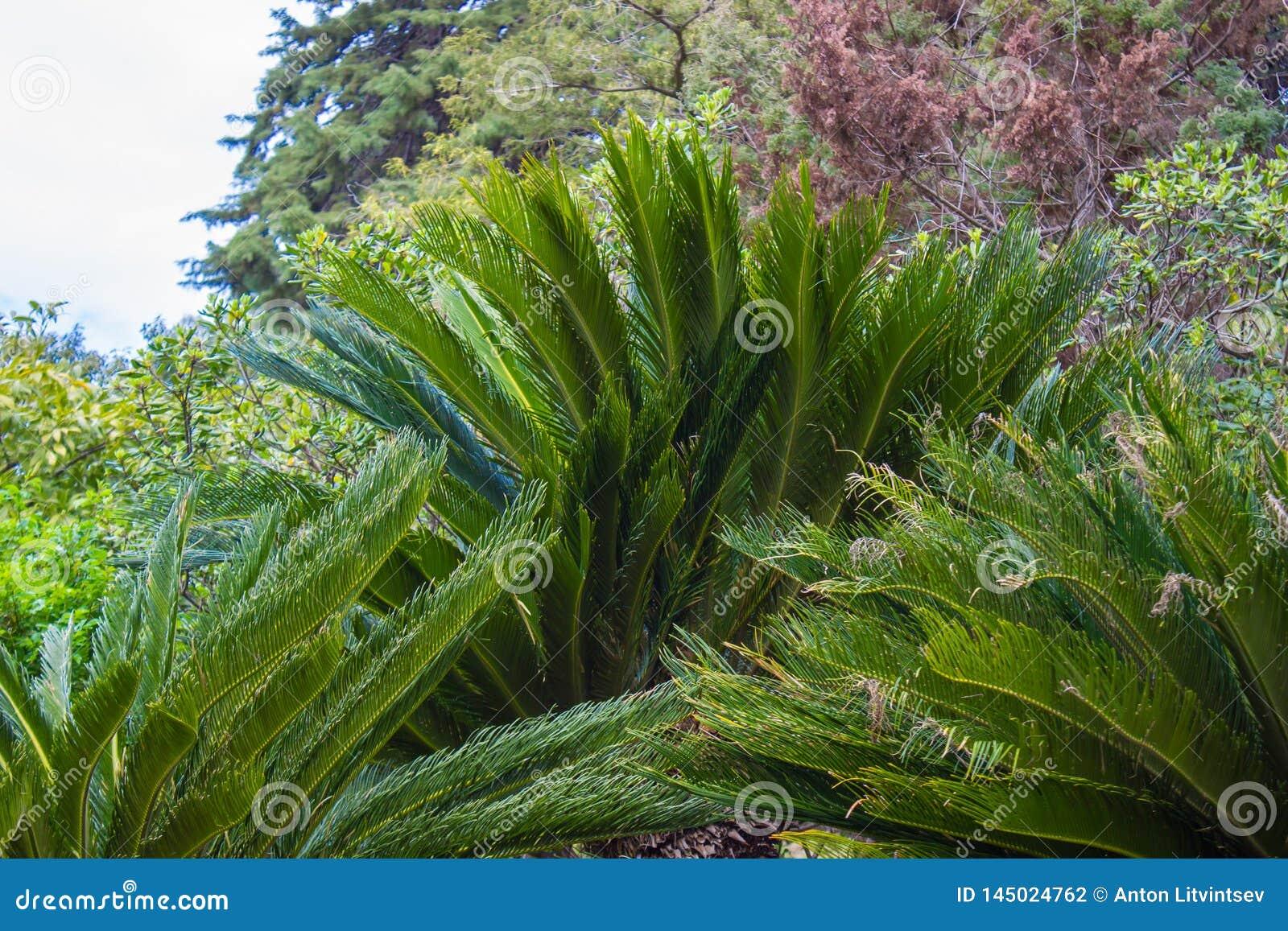 Cycas Revoluta ro?lina w Sochi Dendrarium w wio?nie