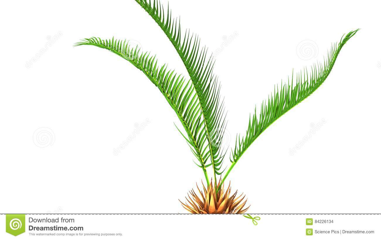 Cycas roots stock illustration. Illustration of isolated - 84226134
