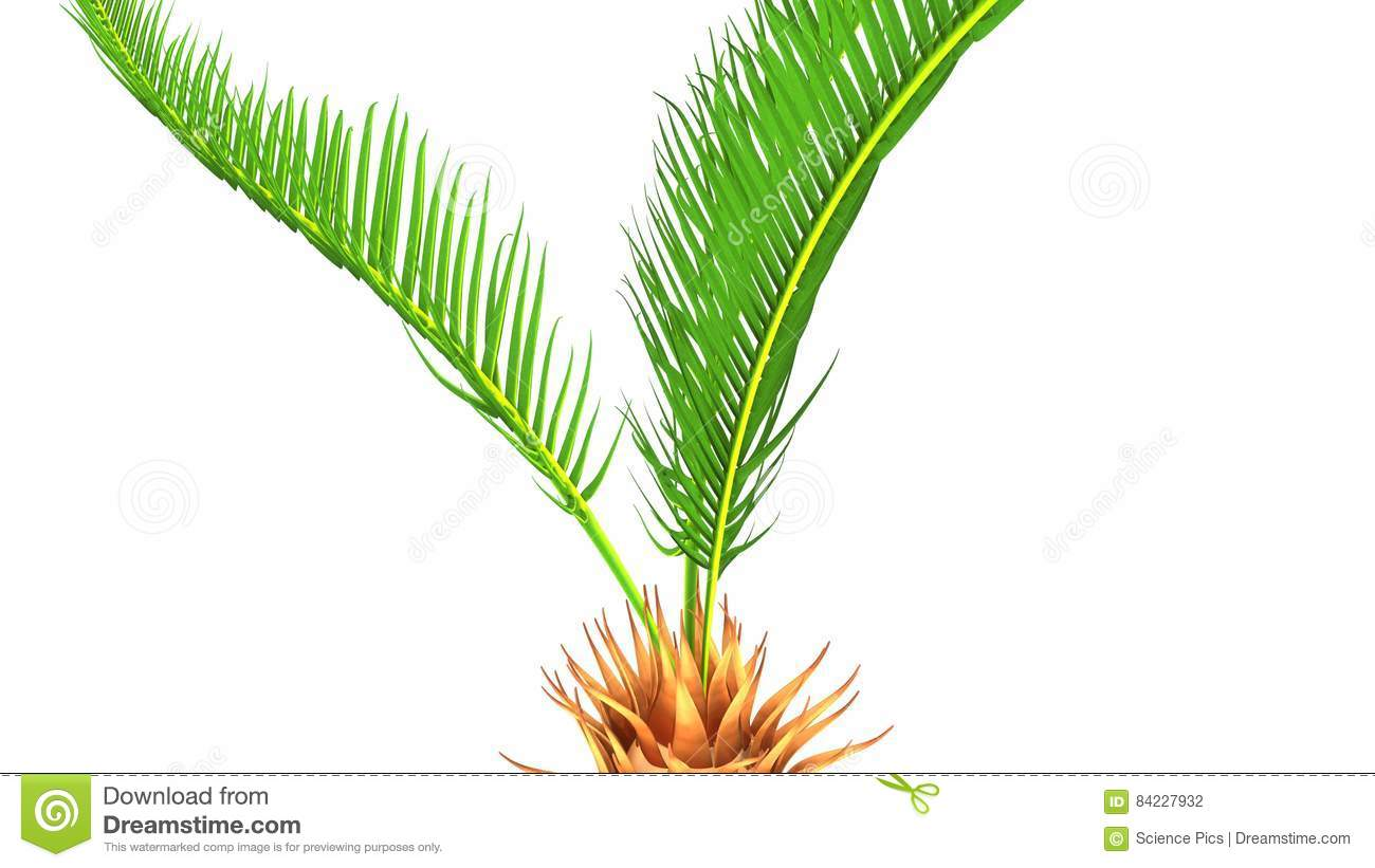 Cycas roots stock illustration. Illustration of foliage - 84227932