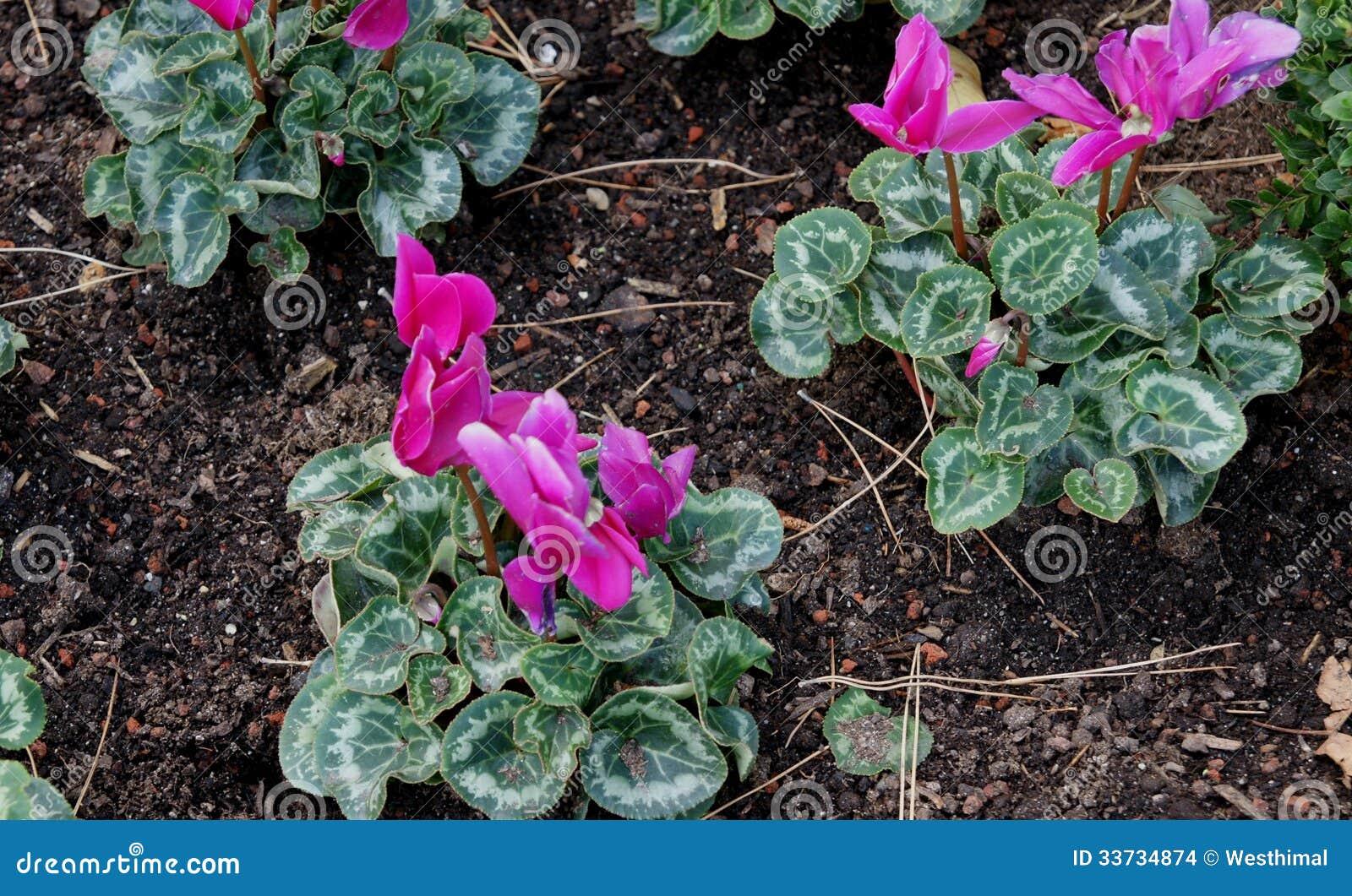 Cyclamen флориста