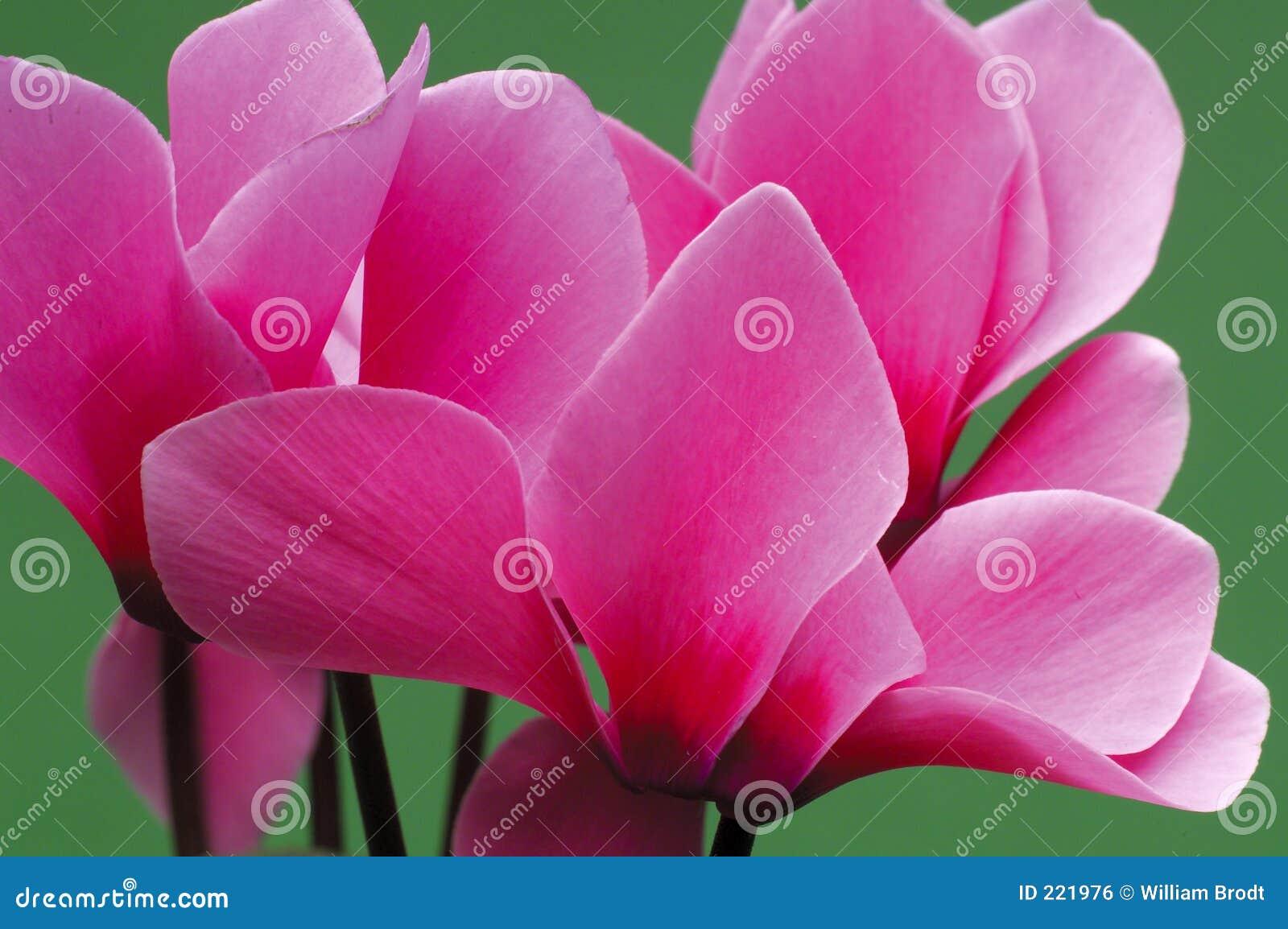 Download Cyclamen stock photo. Image of beauty, house, flower, cyclamen - 221976