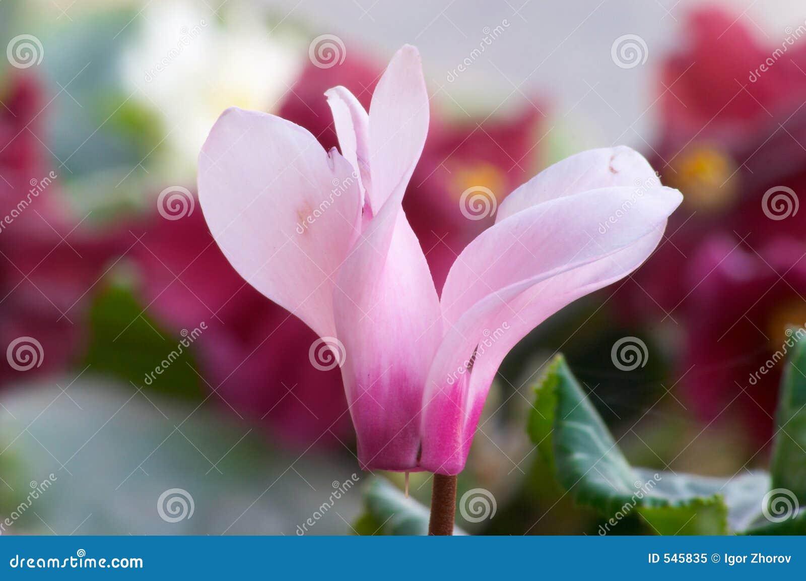 Download Cyclamen 库存图片. 图片 包括有 背包徒步旅行者, 本质, 雌蕊, 房子, 雄芯花蕊, 弄脏, 富有 - 545835