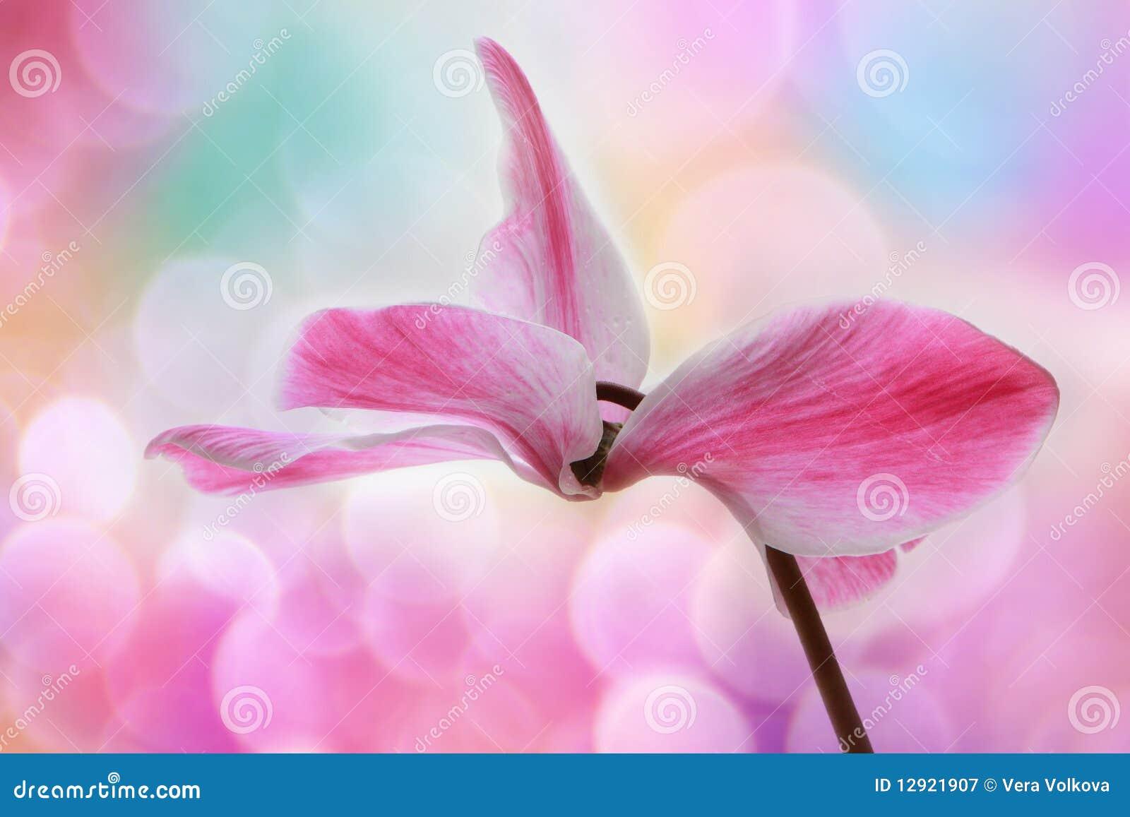 Cyclamen blomman