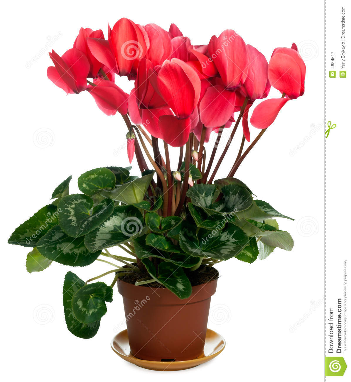 Cyclamen Plant Royalty Free Stock Photography Image 4884517
