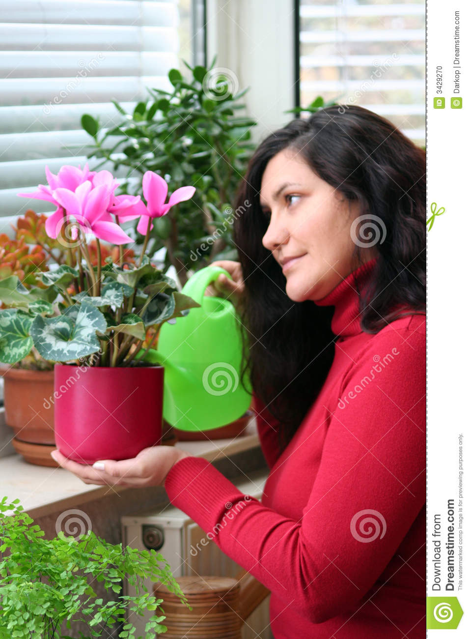 Cyclamen Plant Care Growing Tips Cutting Planting: Cyclamen Plant Care Stock Photo