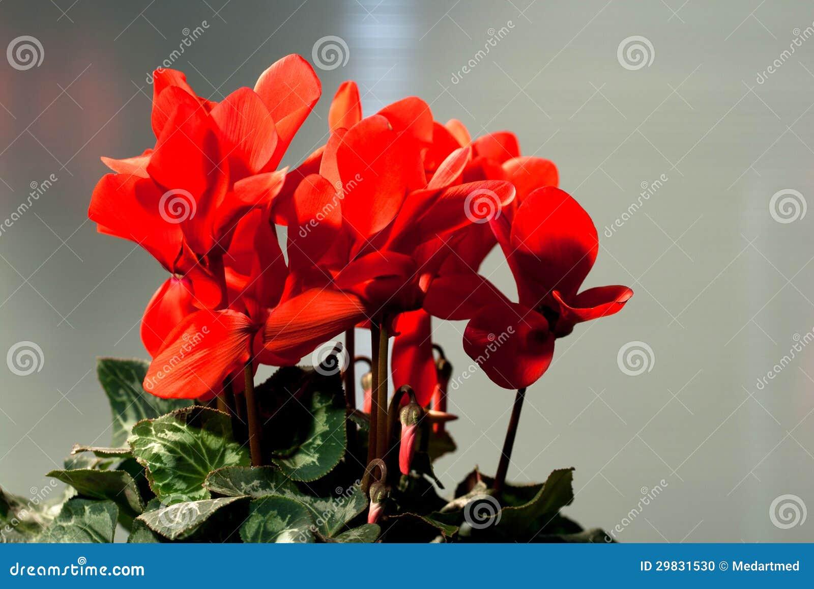 Cyclamen vermelho