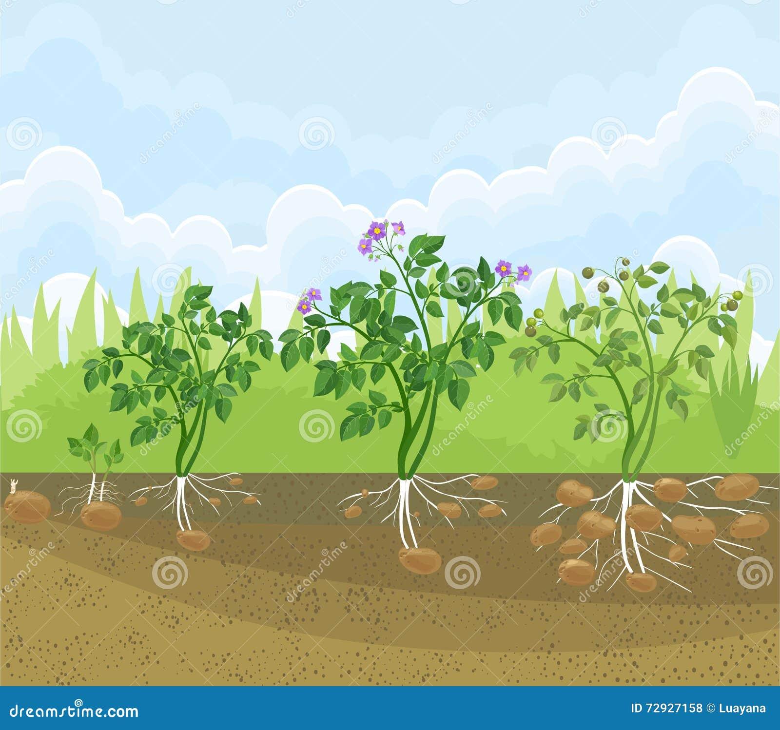 cycle de croissance de plante de pomme de terre illustration de vecteur image 72927158. Black Bedroom Furniture Sets. Home Design Ideas