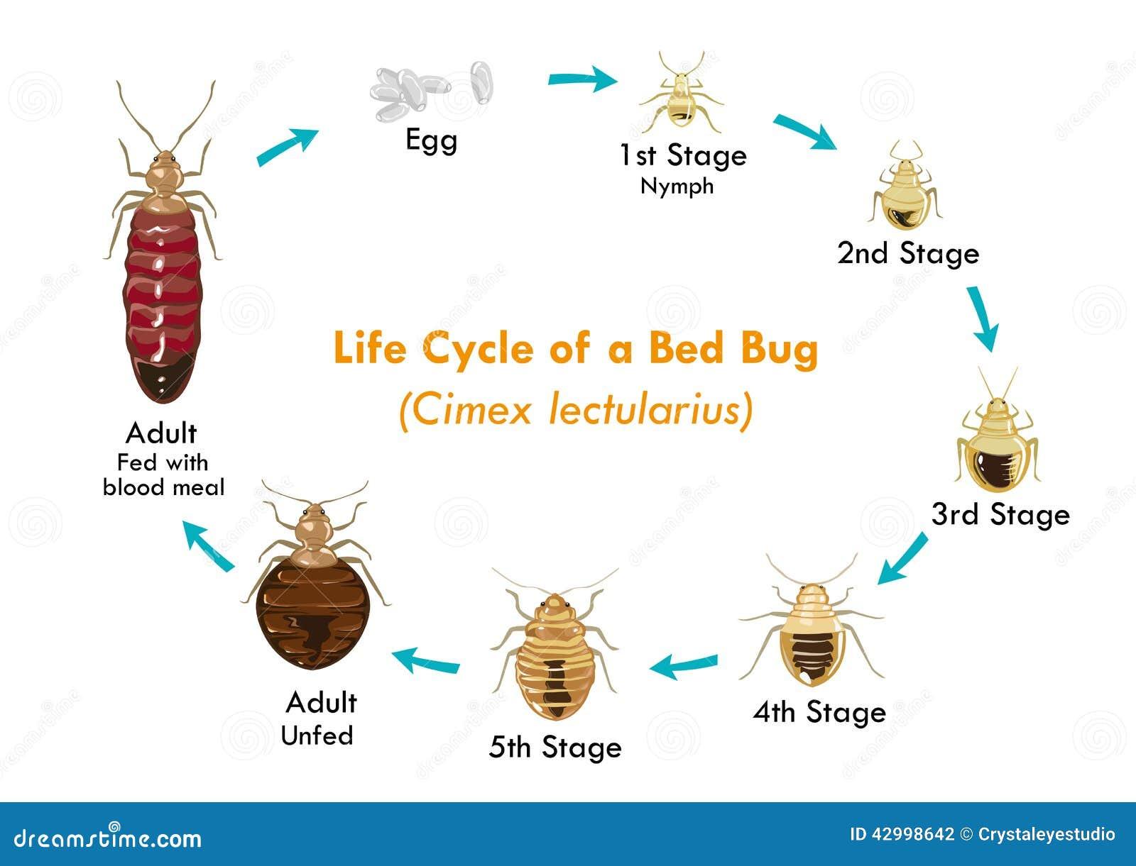 Cycle De Vie Du Vecteur Eps10 D Insecte De Lit