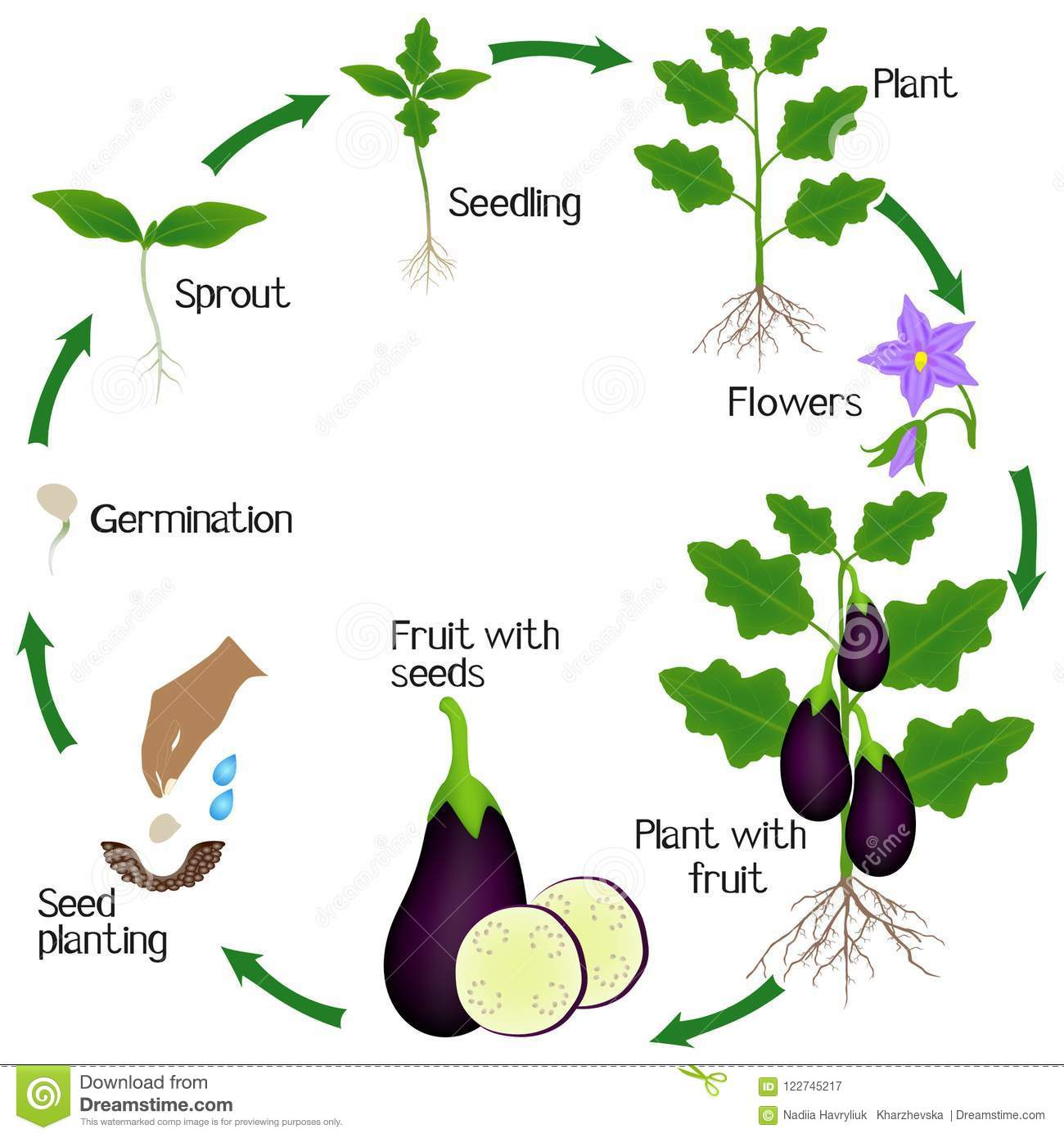 Cycle Of A Eggplant Plant Growth Isolated On White Background Stock