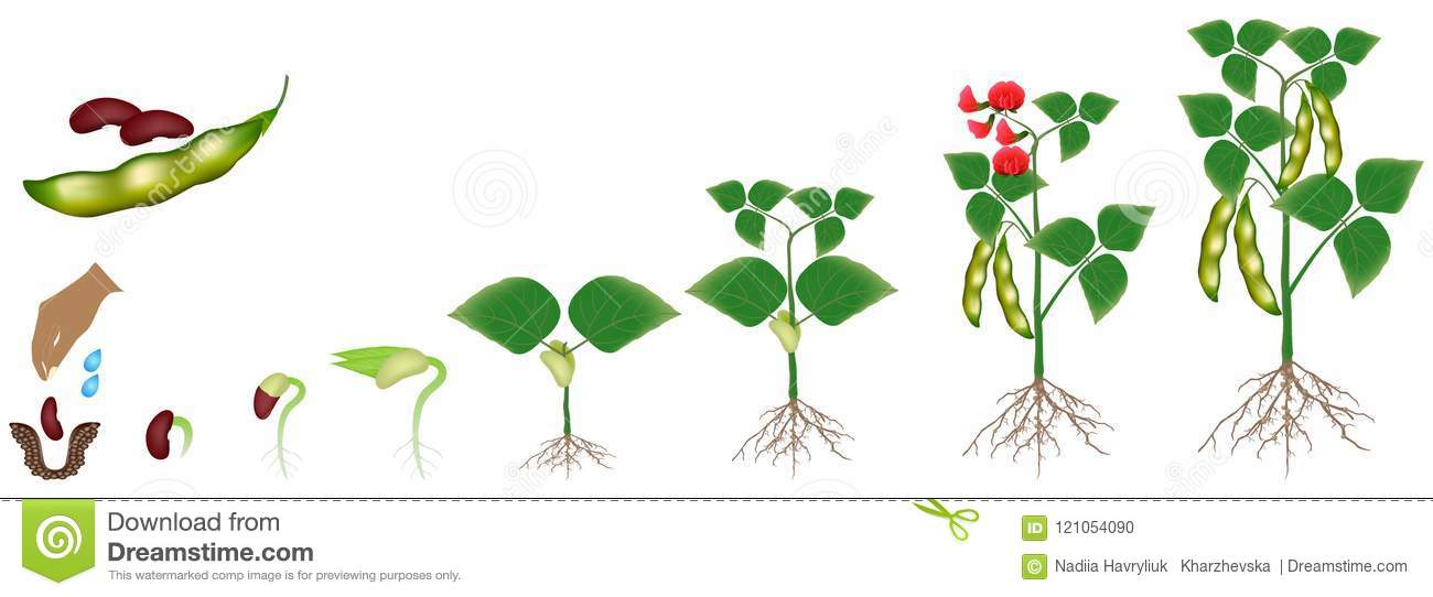 Cycle of growth of a bean plant isolated on a white background download comp ccuart Image collections