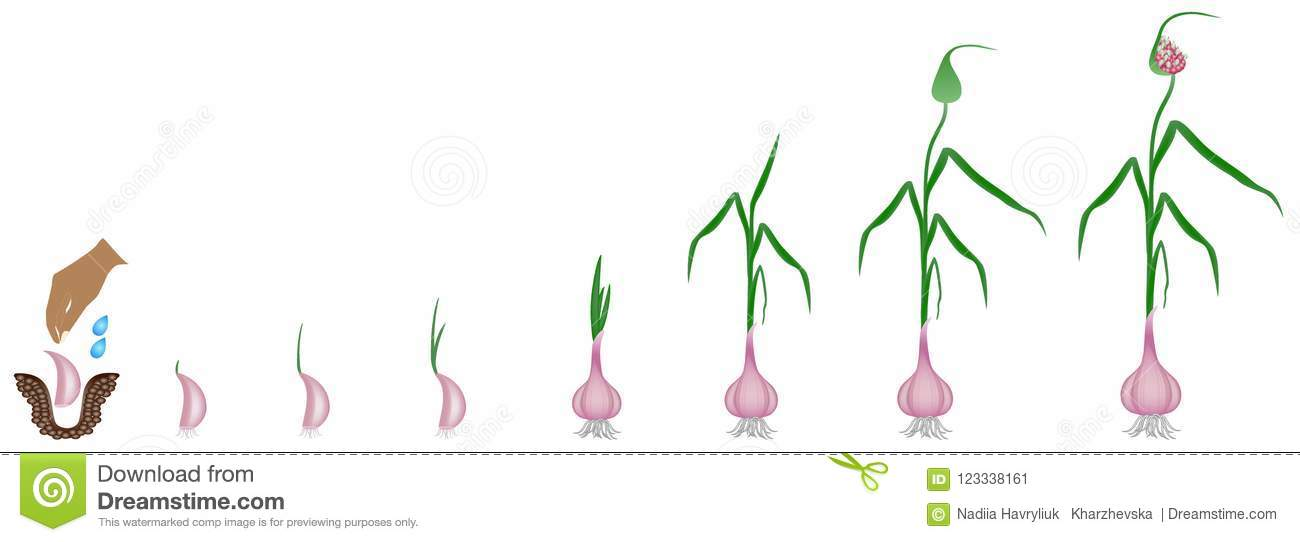 cycle growth plant garlic isolated white background cycle growth plant garlic isolated white 123338161 cycle of growth of a plant of a garlic isolated on a white