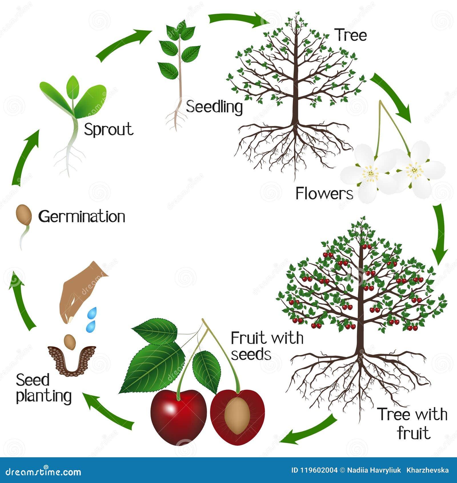 Cyclus van de groei van een kersenboom op een witte achtergrond