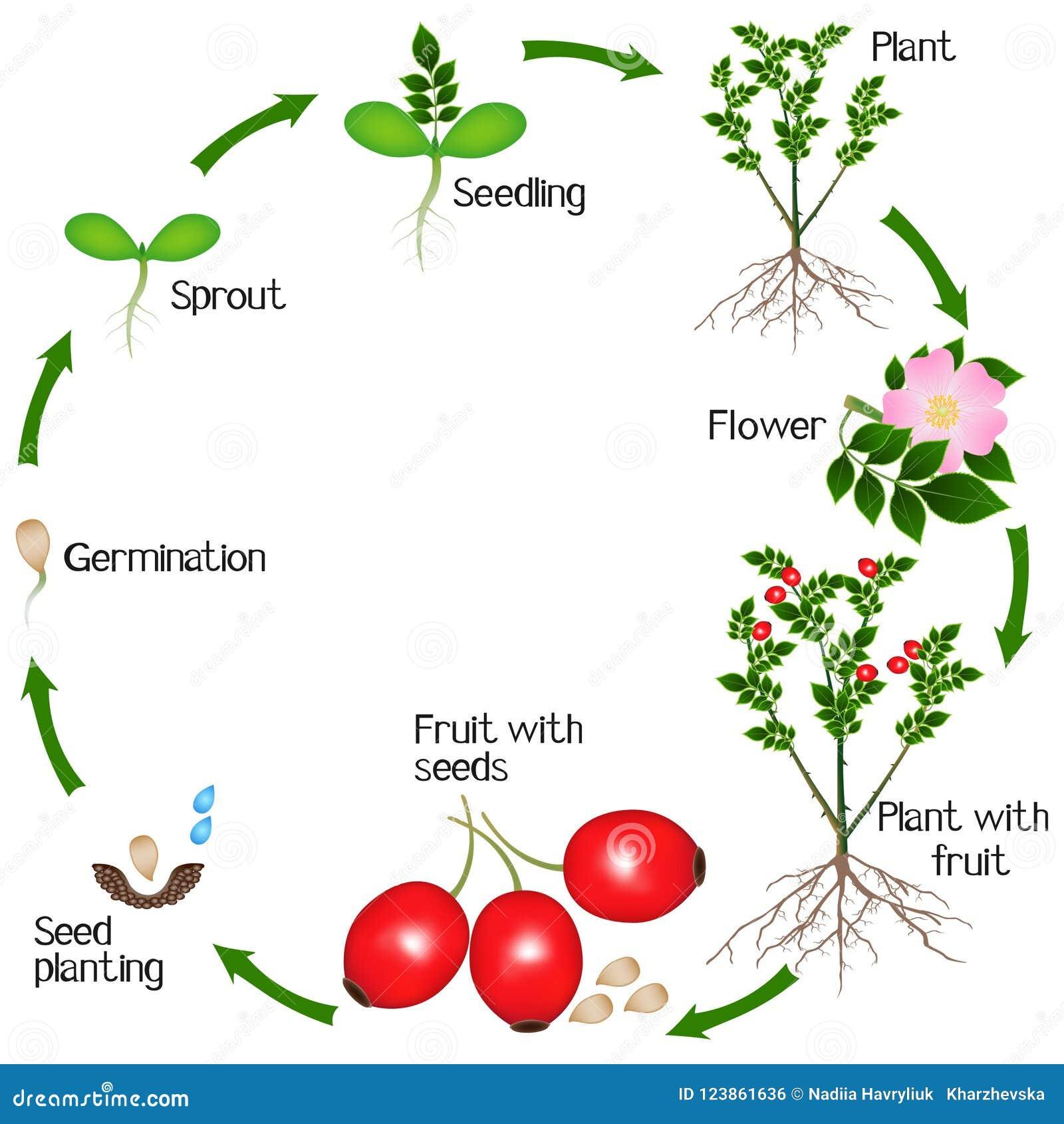 Cyclus van de groei van de rozebottelsinstallatie op witte achtergrond wordt geïsoleerd die
