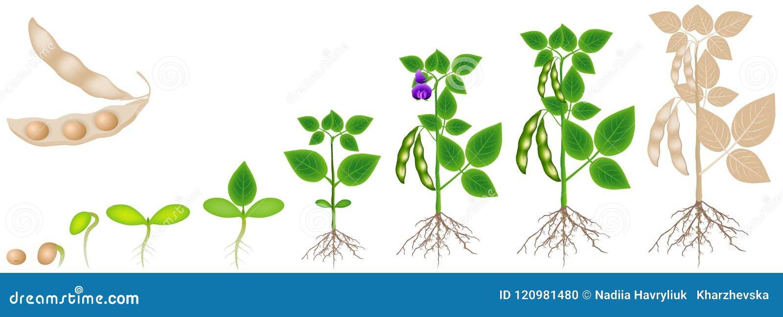 Cyclus van groei van sojabooninstallatie op witte achtergrond wordt de geïsoleerd die
