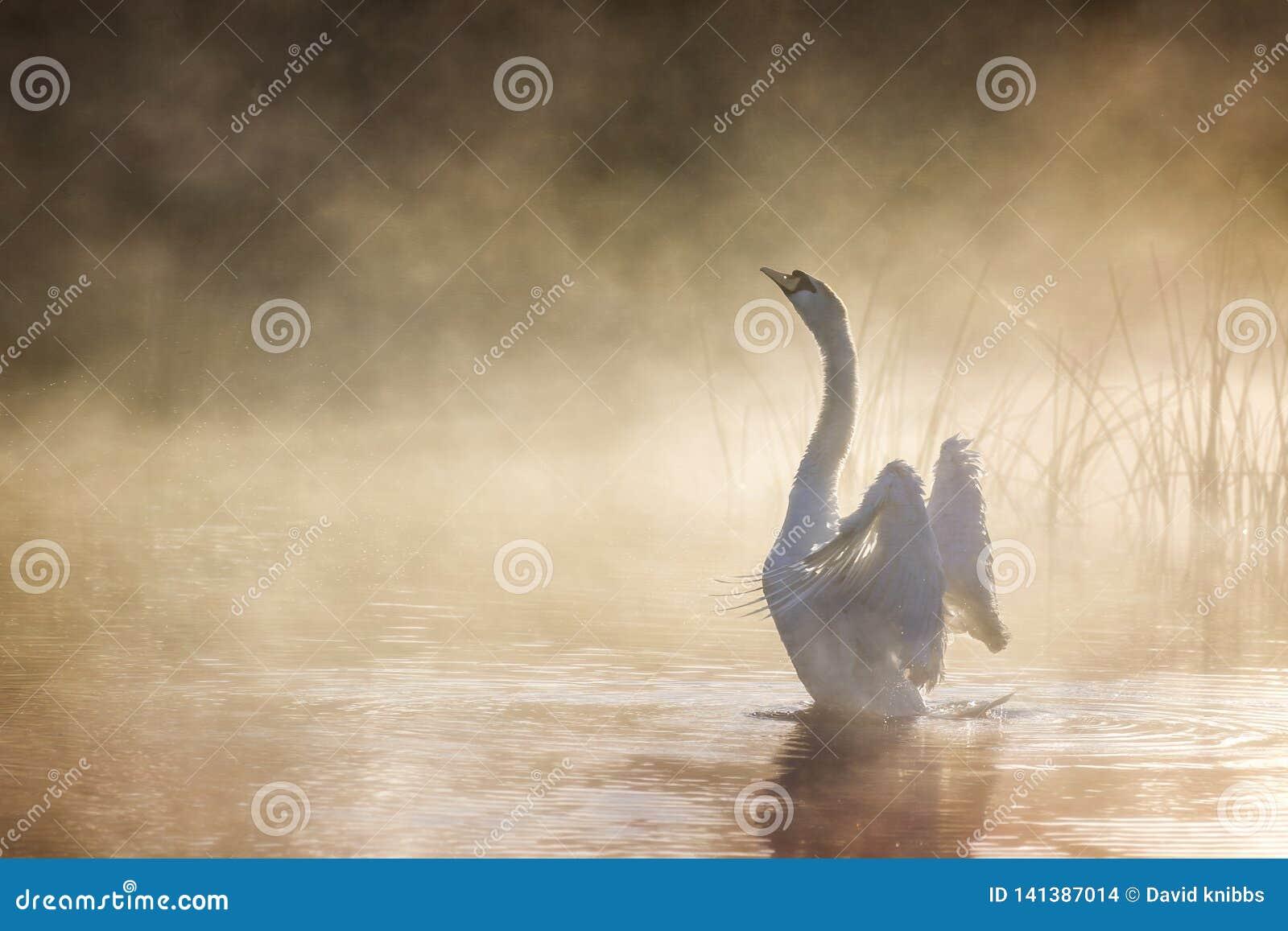 Cygne étirant ses ailes sur la rivière Avon un matin brumeux