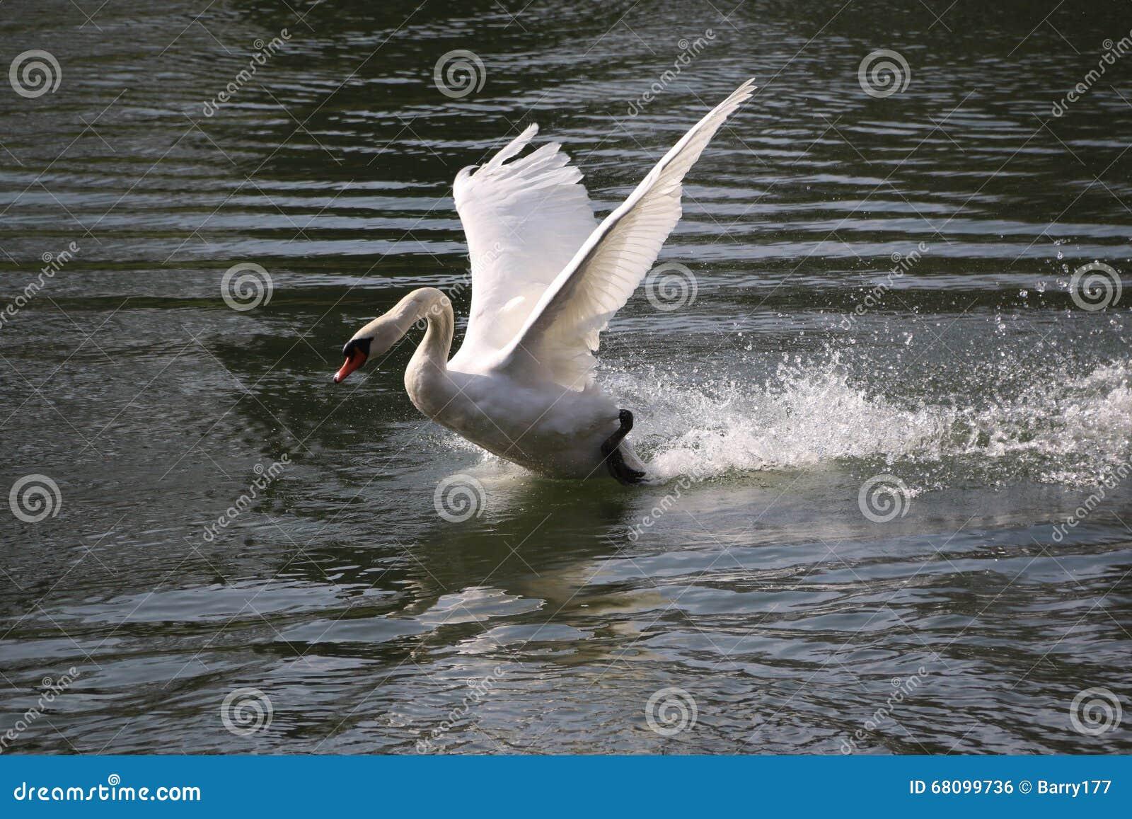 Cygne blanc