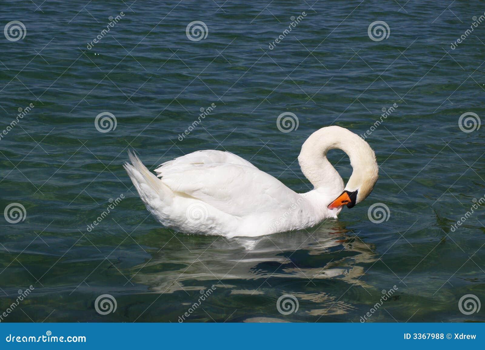 Cygne blanc dans le lac