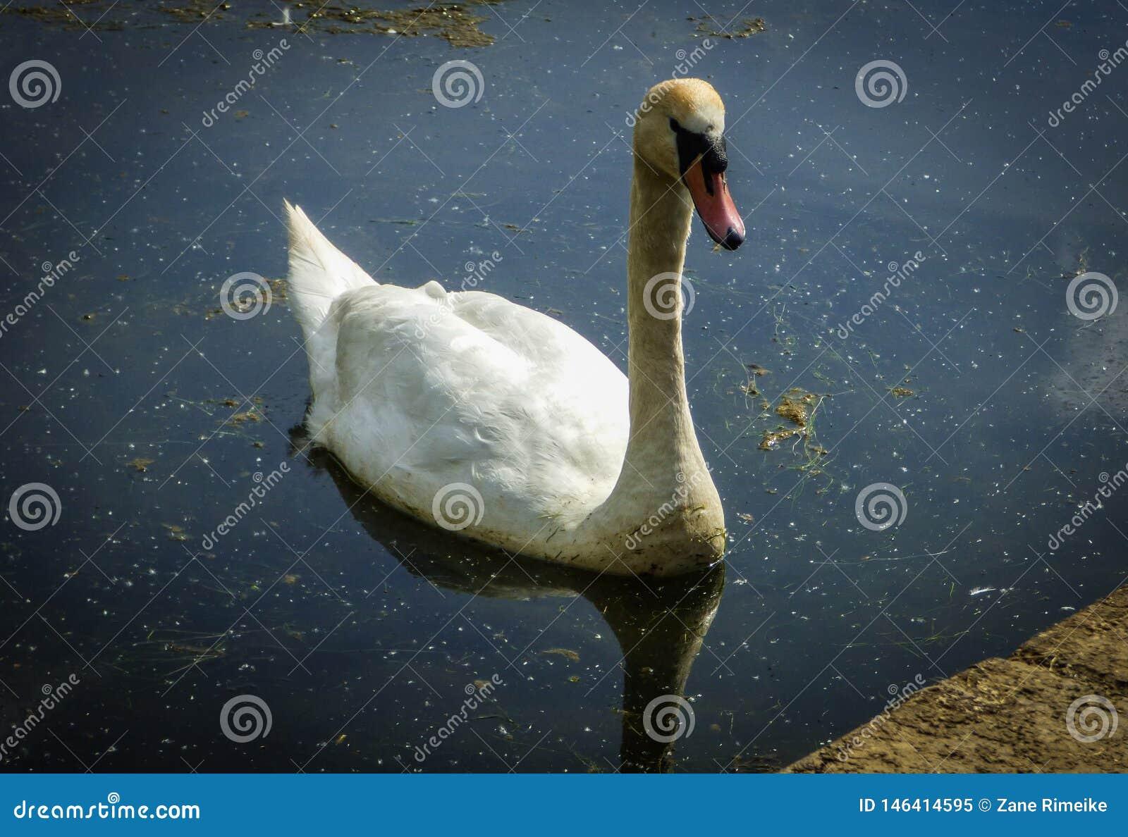Cygne blanc dans un lac