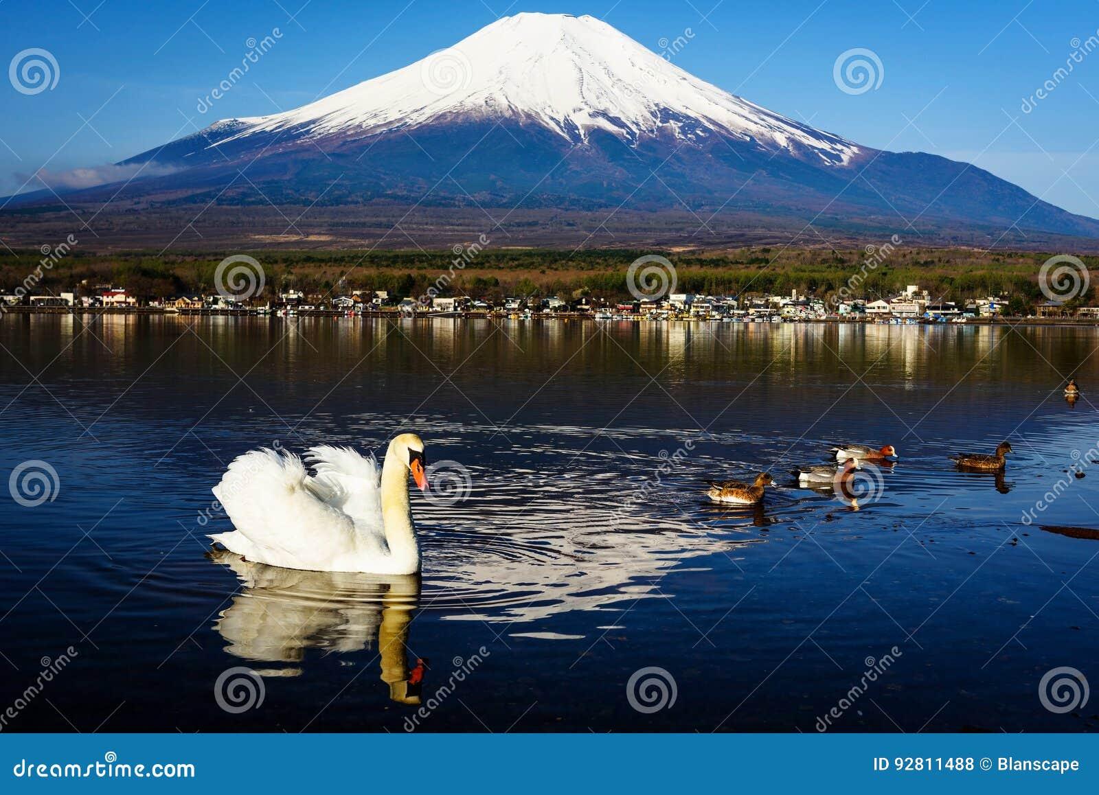 Cygne blanc flottant sur le lac yamanaka avec la vue du mont Fuji, Yamanashi, Japon