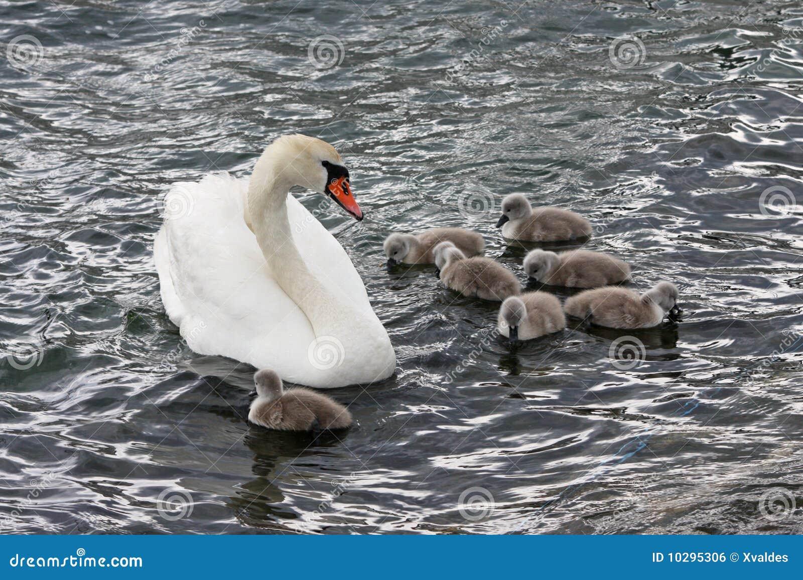 Cygne de famille
