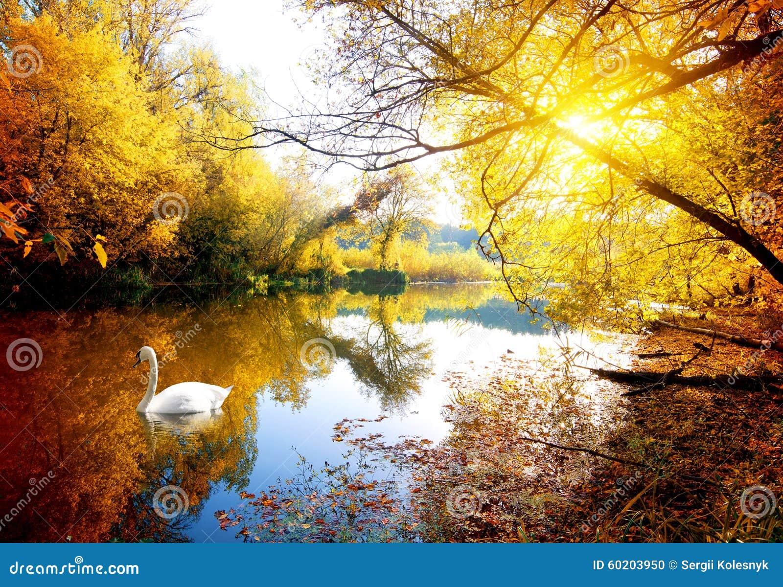 Cygne en automne