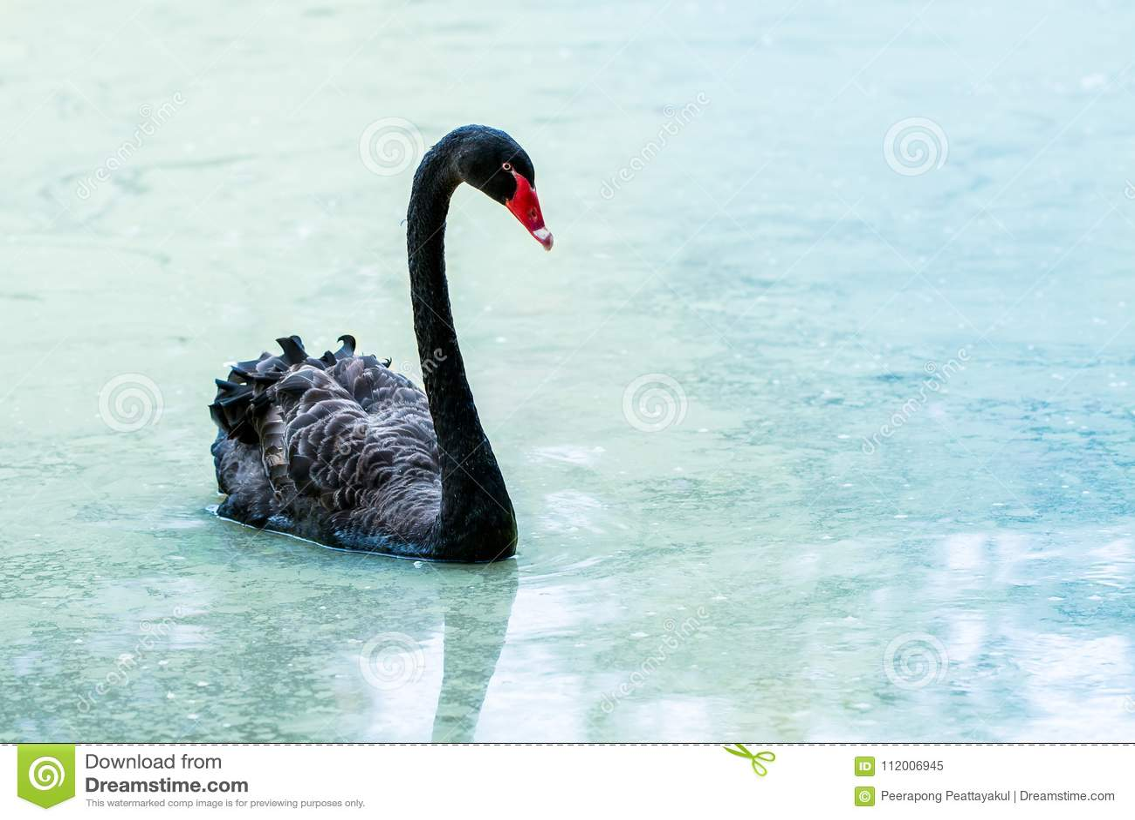 Cygne flottant sur l eau au lever de soleil du jour