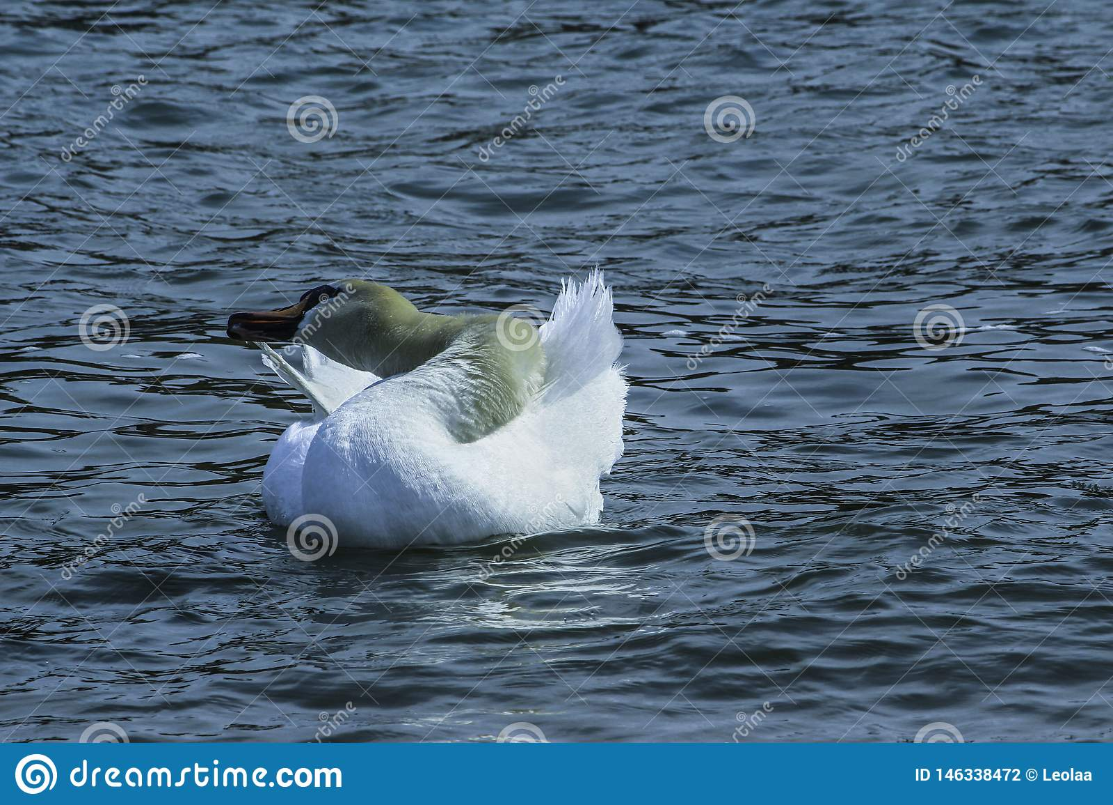 Cygne lissant dans le lac