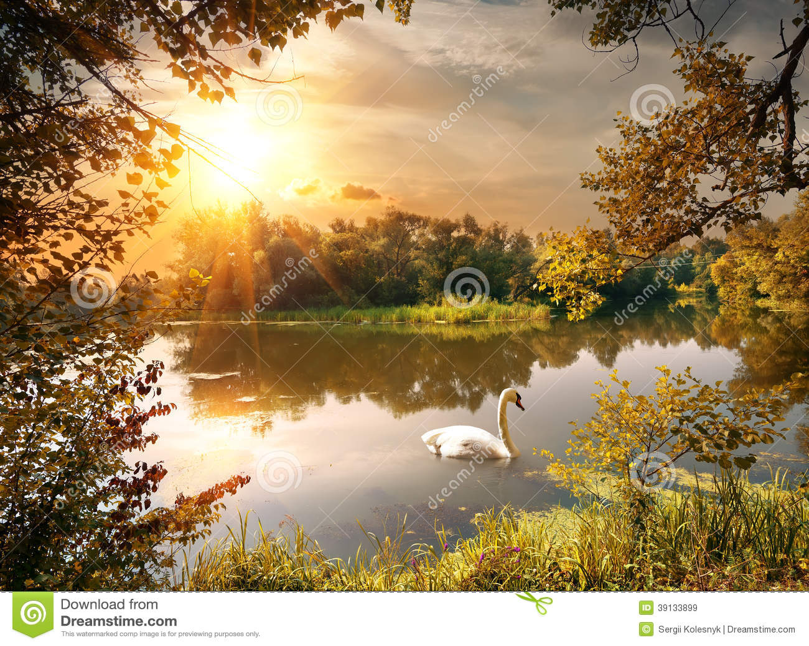 Cygne sur l étang