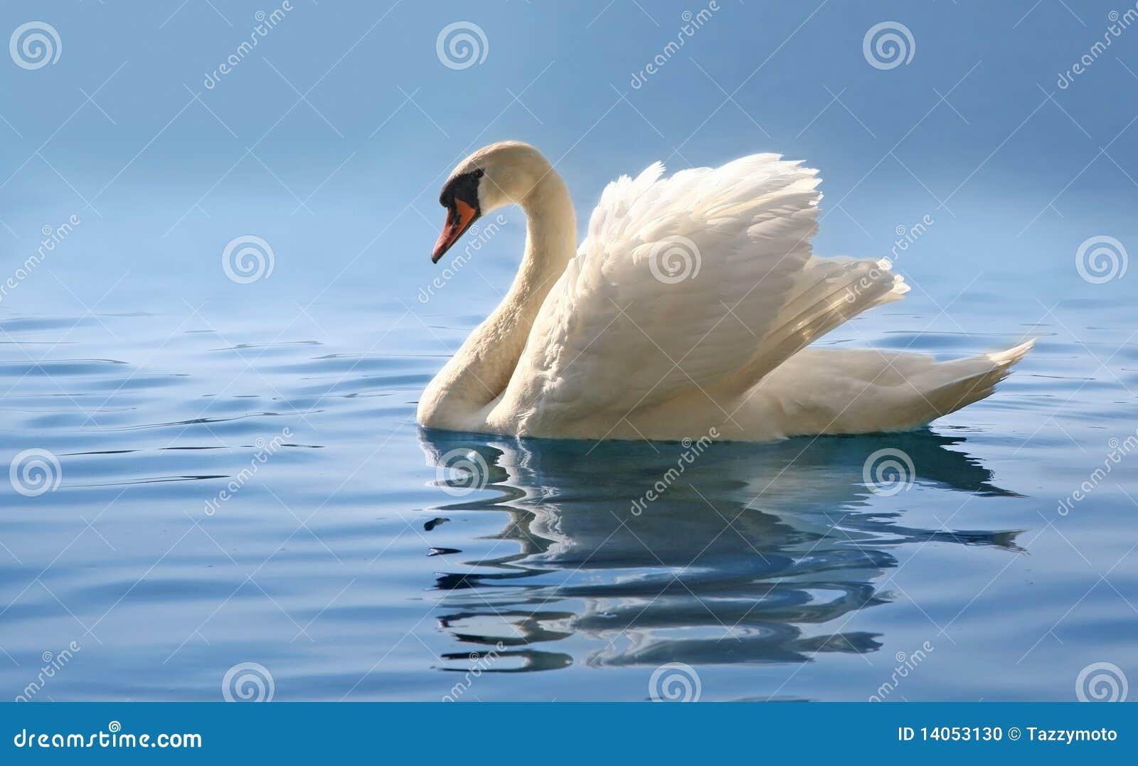 Cygne sur le lac bleu brumeux