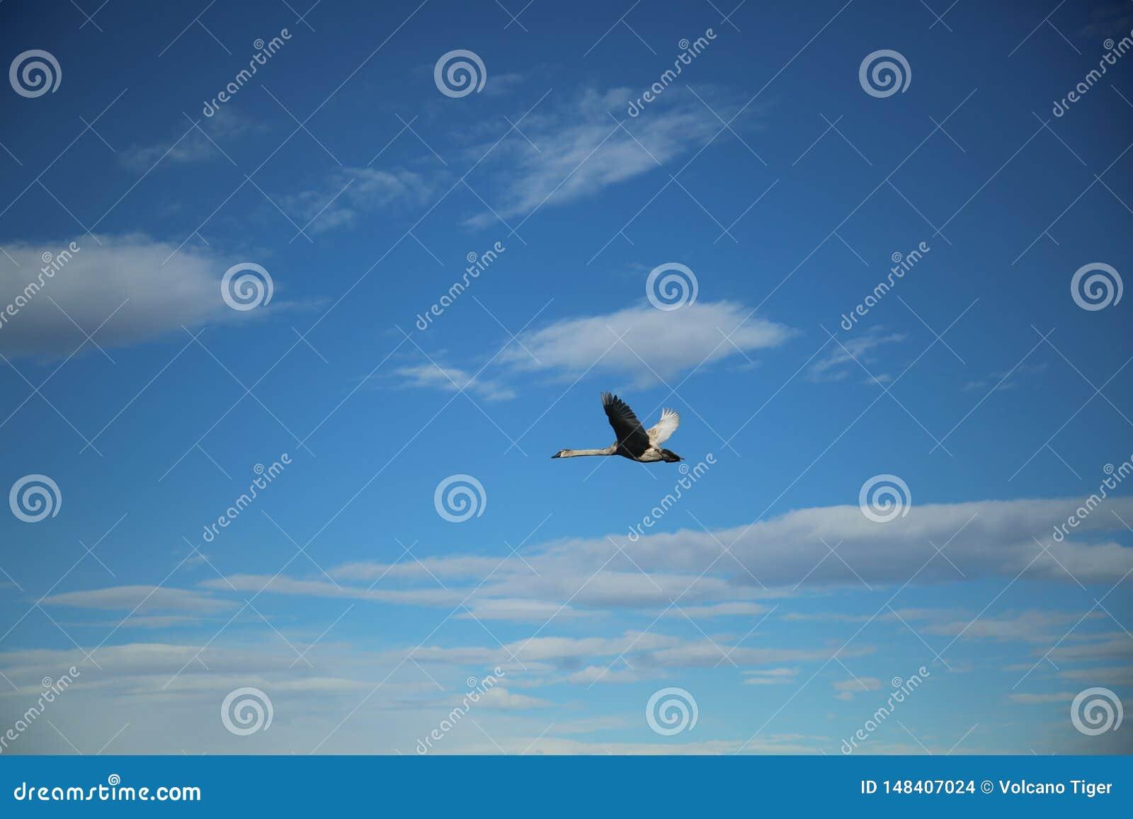 Cygne volant dans le ciel
