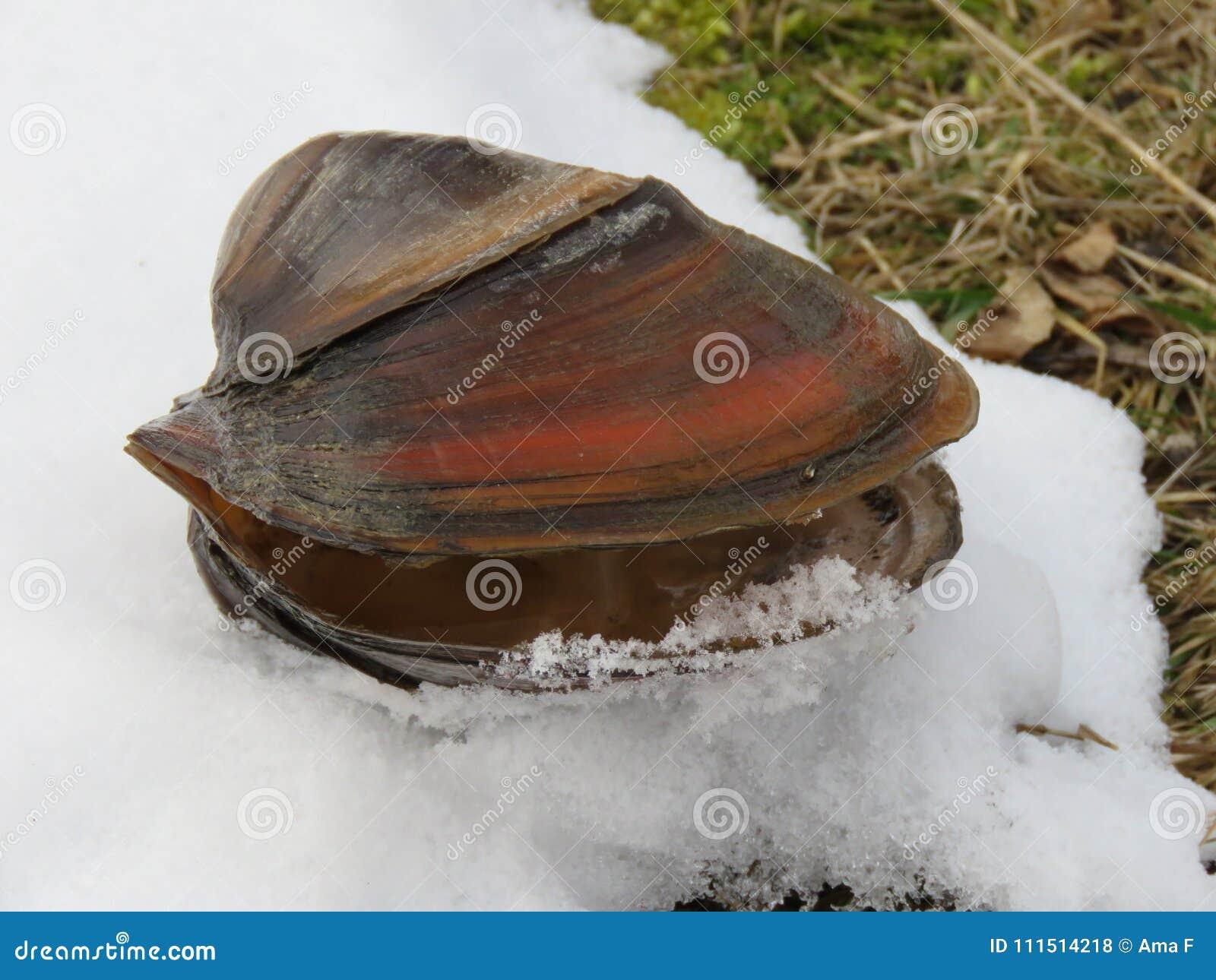 Cygnea van tweekleppig schelpdieranodonta op de sneeuw