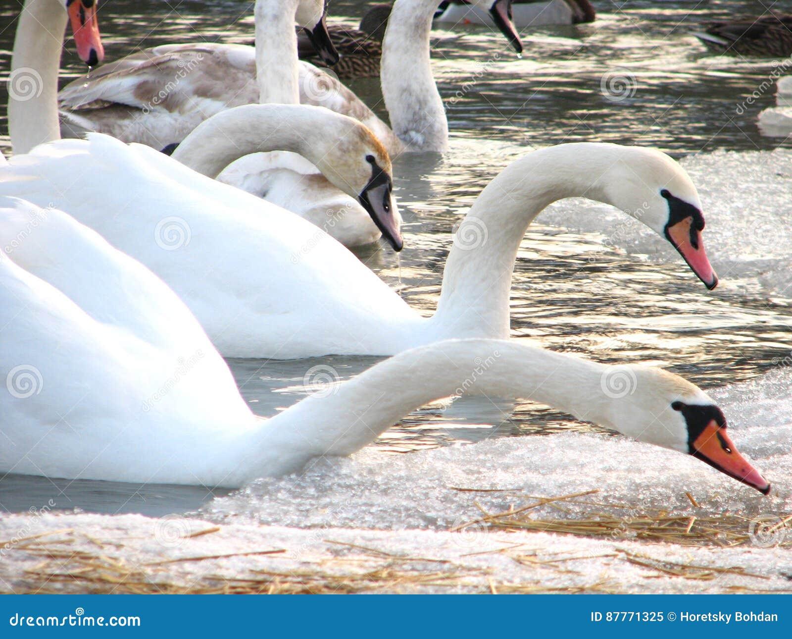 Cygnes blancs sur l eau