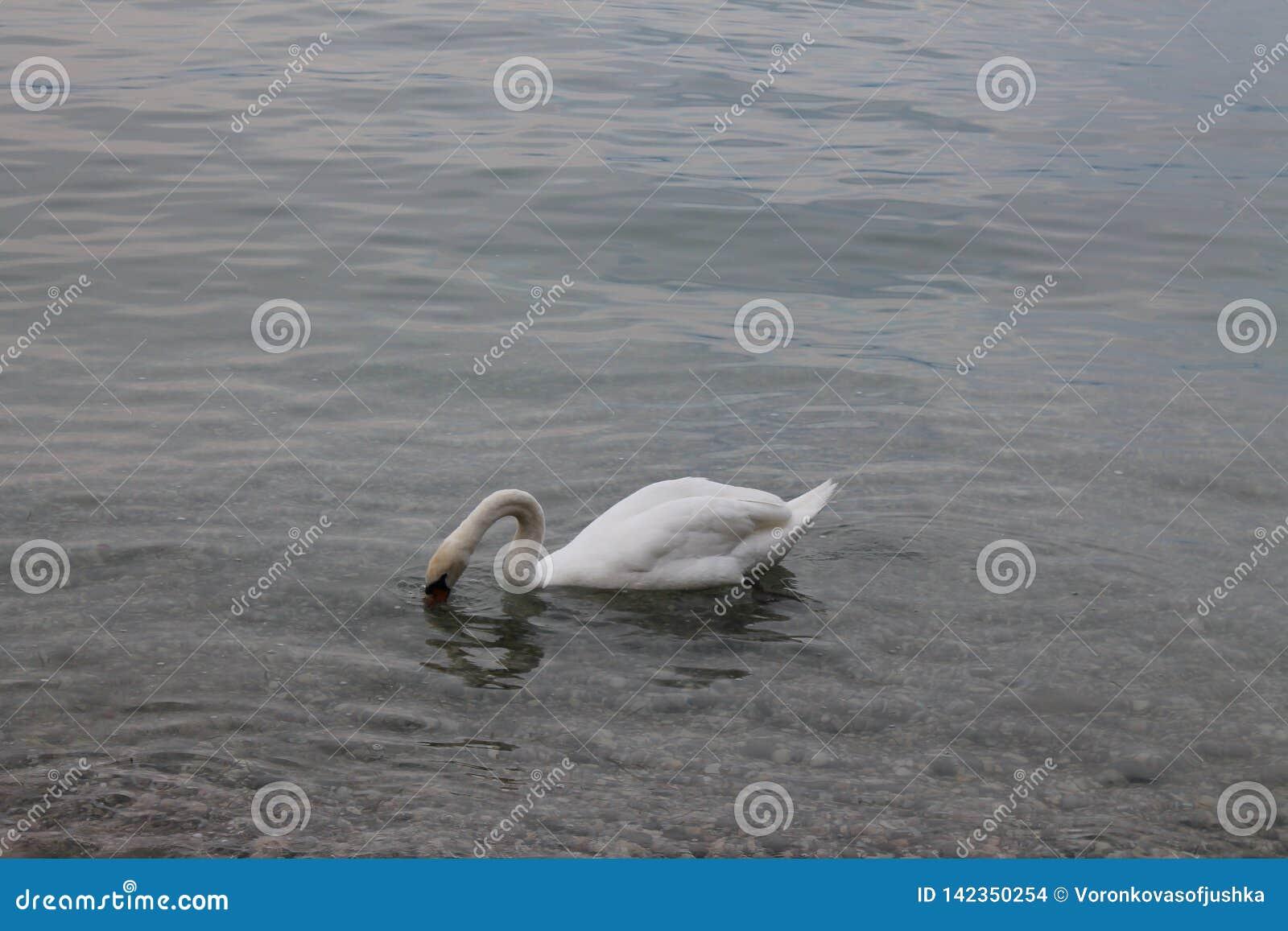 Cygnes blancs sur le policier Italie de lac